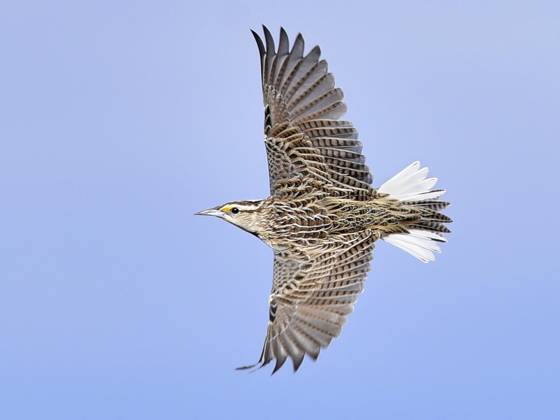 Eastern Meadowlark - Daniel Irons