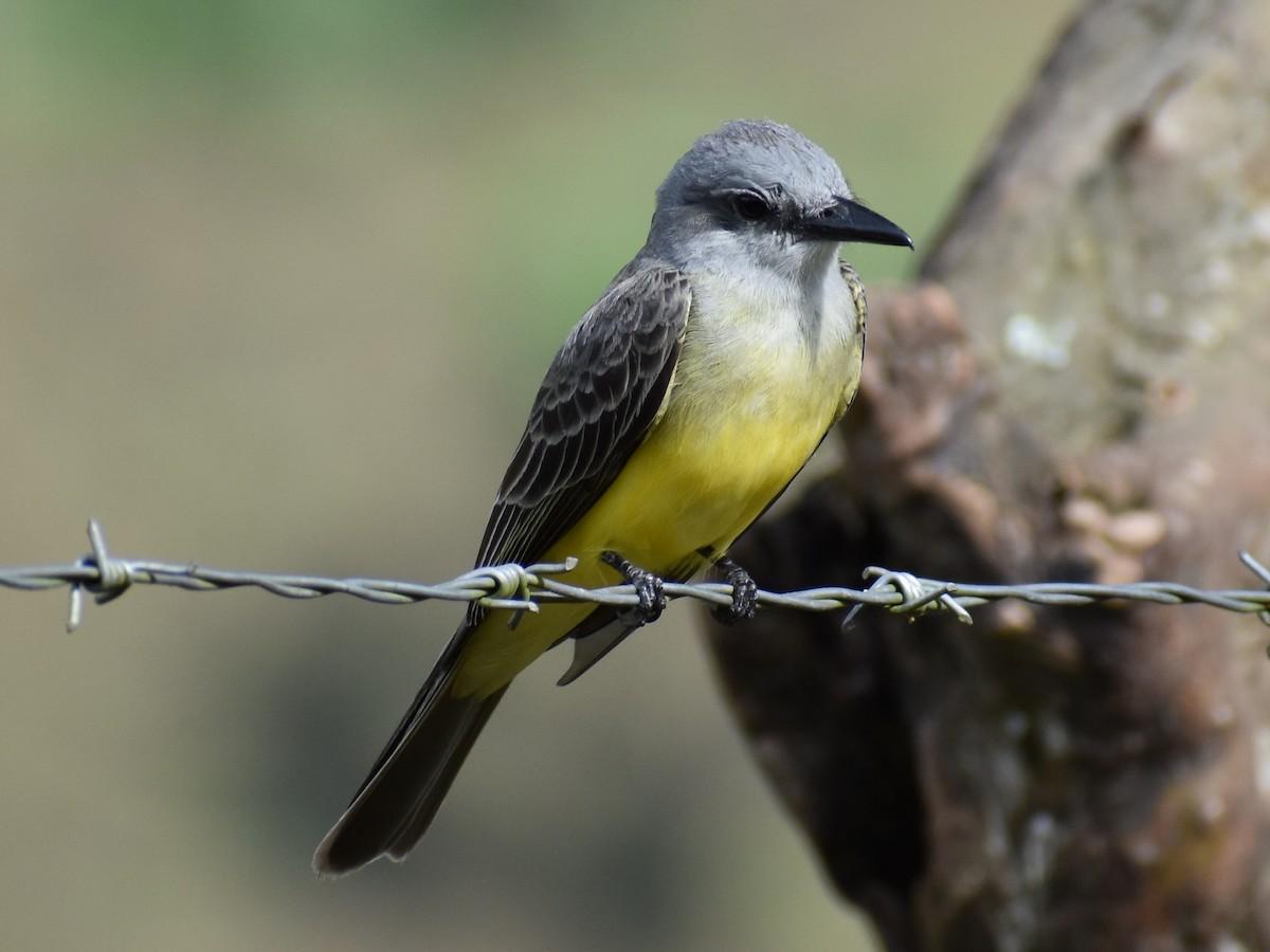 Tropical Kingbird ML306342401