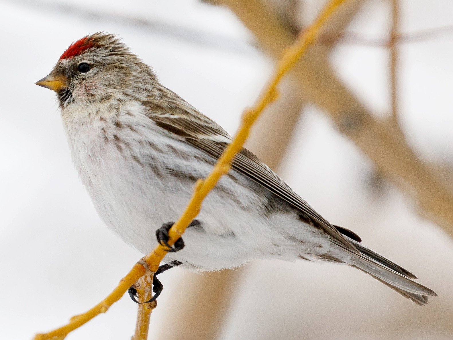 Common Redpoll - Darren Clark