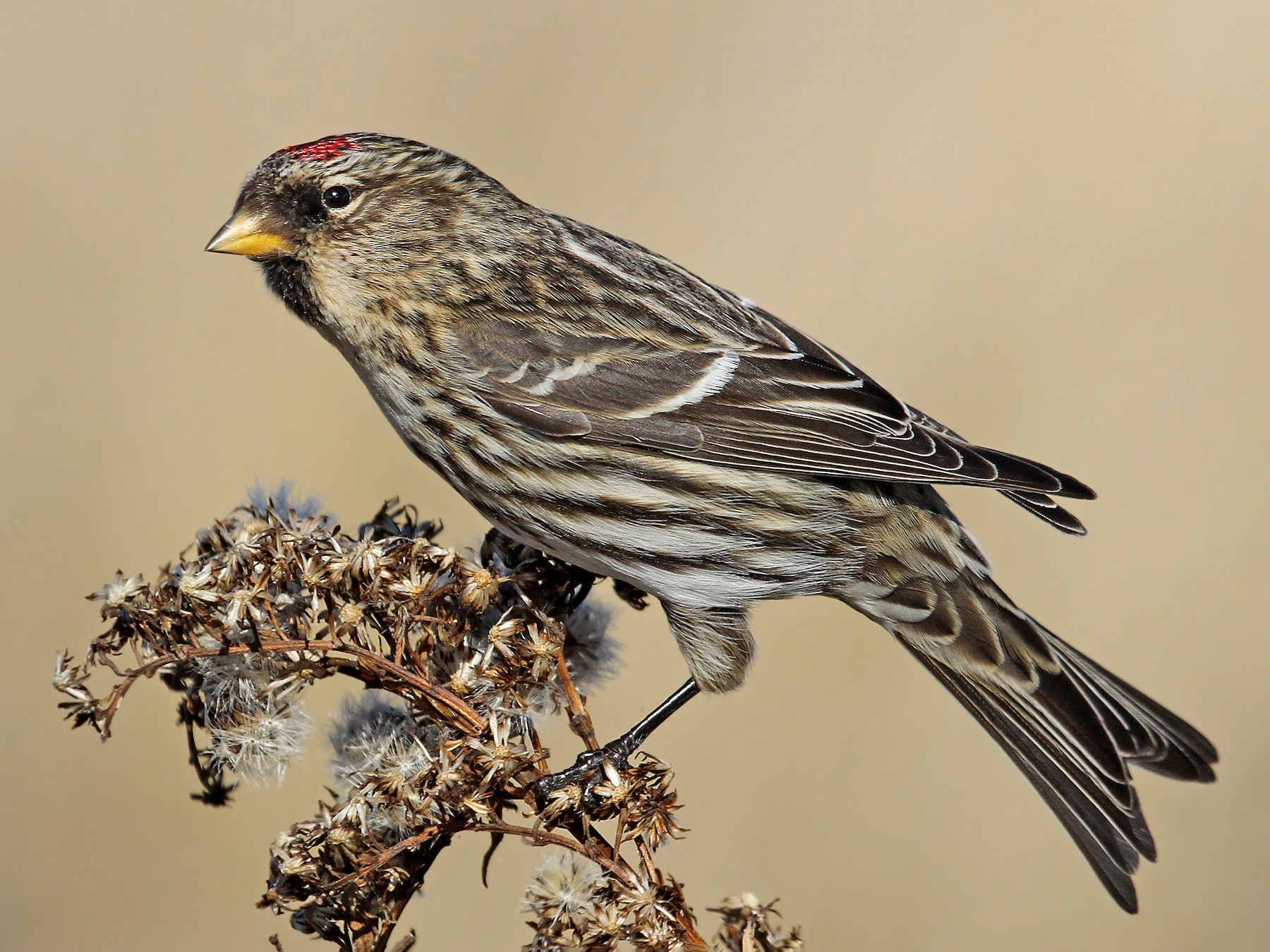Common Redpoll - Ryan Schain