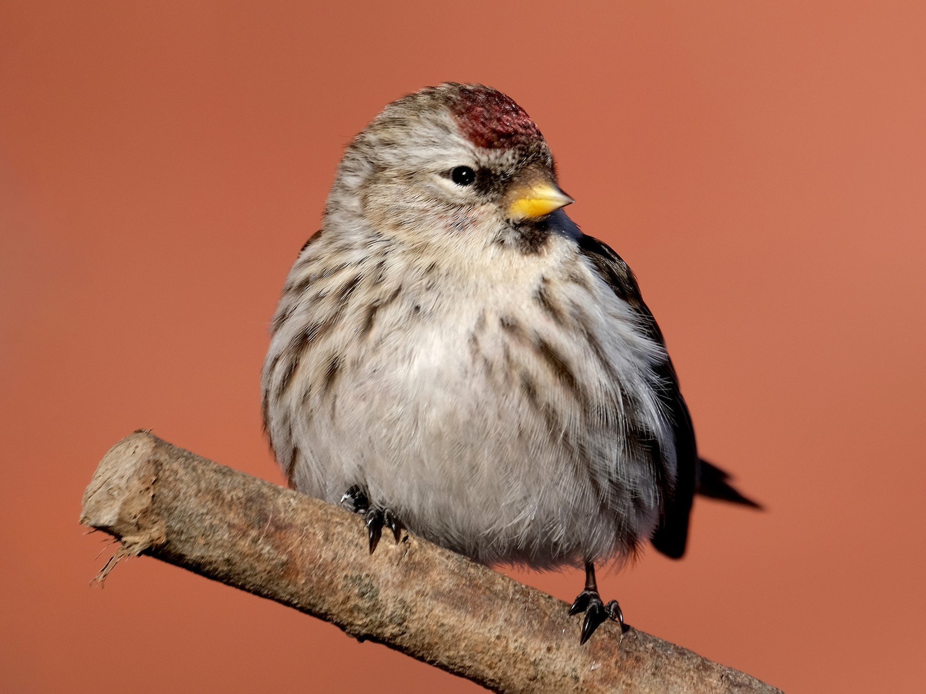 Common Redpoll - Lucas Eckert