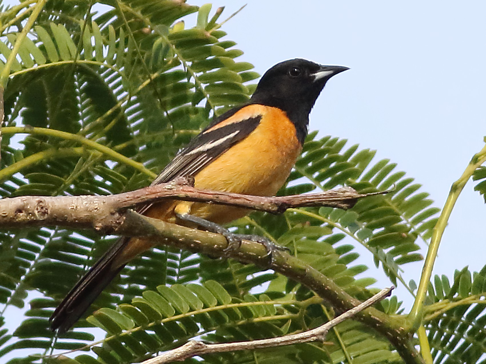 Orchard Oriole - Mark L. Hoffman