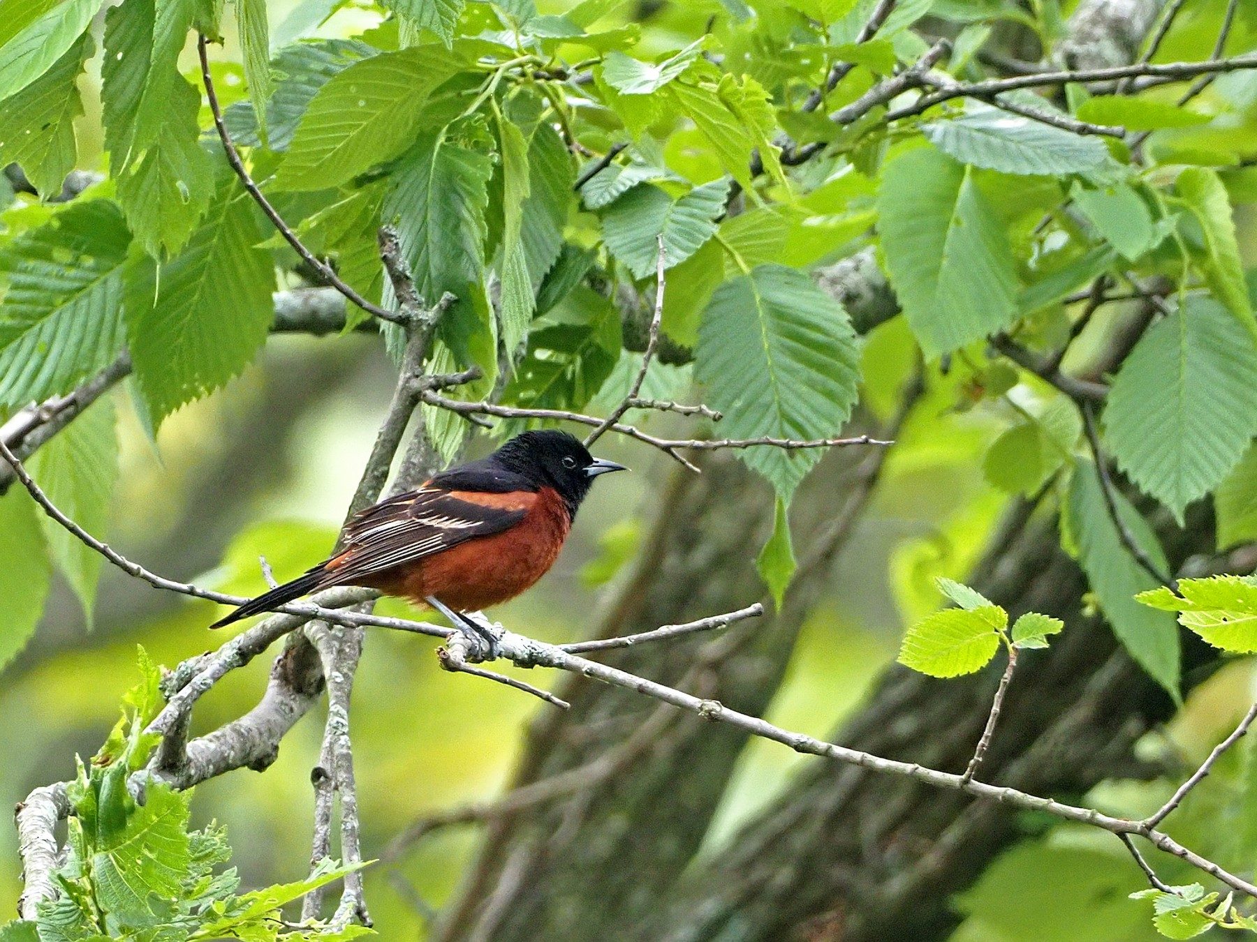 Orchard Oriole - Gary Mueller