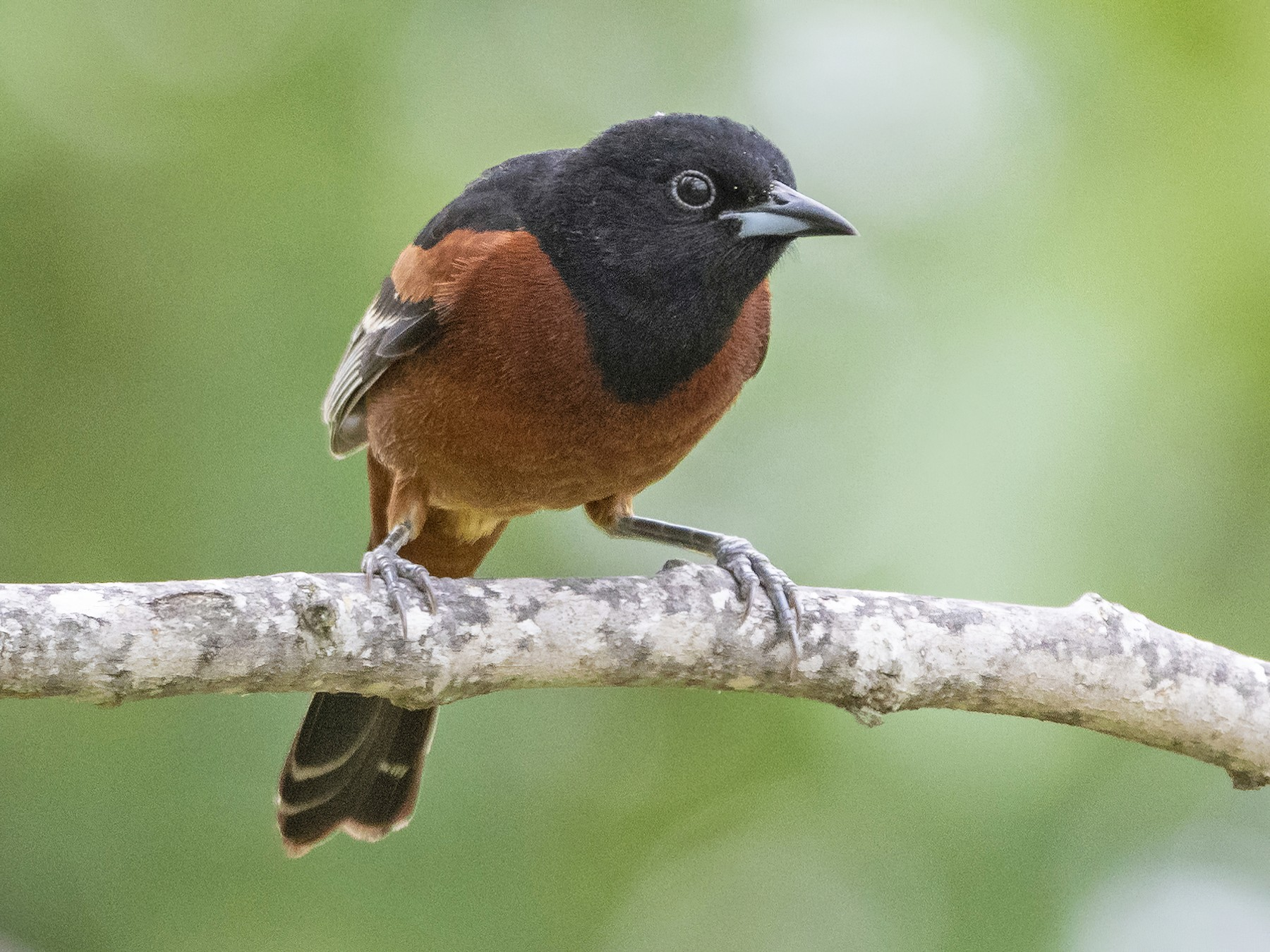 Orchard Oriole - Bryan Calk
