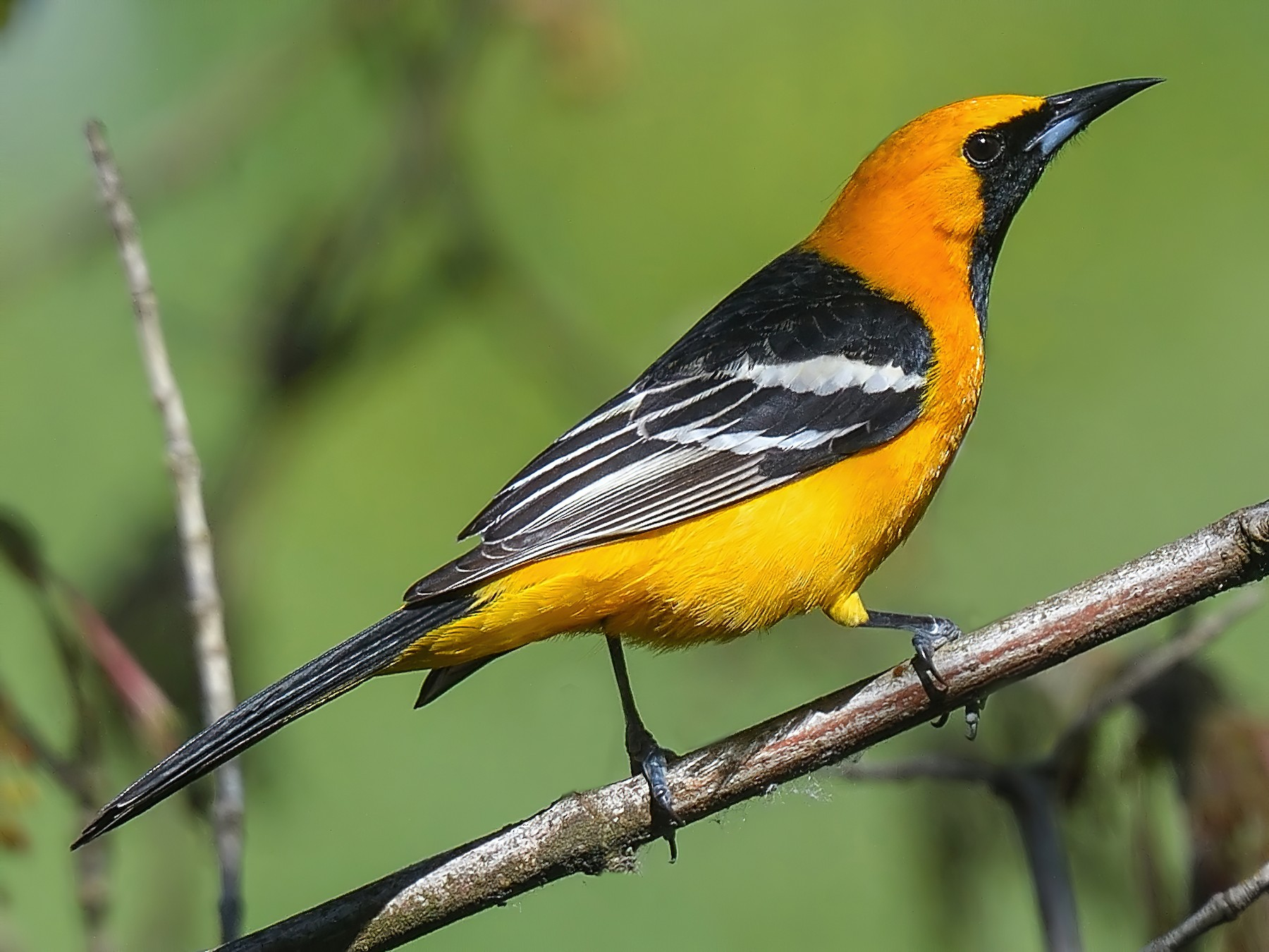 Hooded Oriole - Jerry Ting