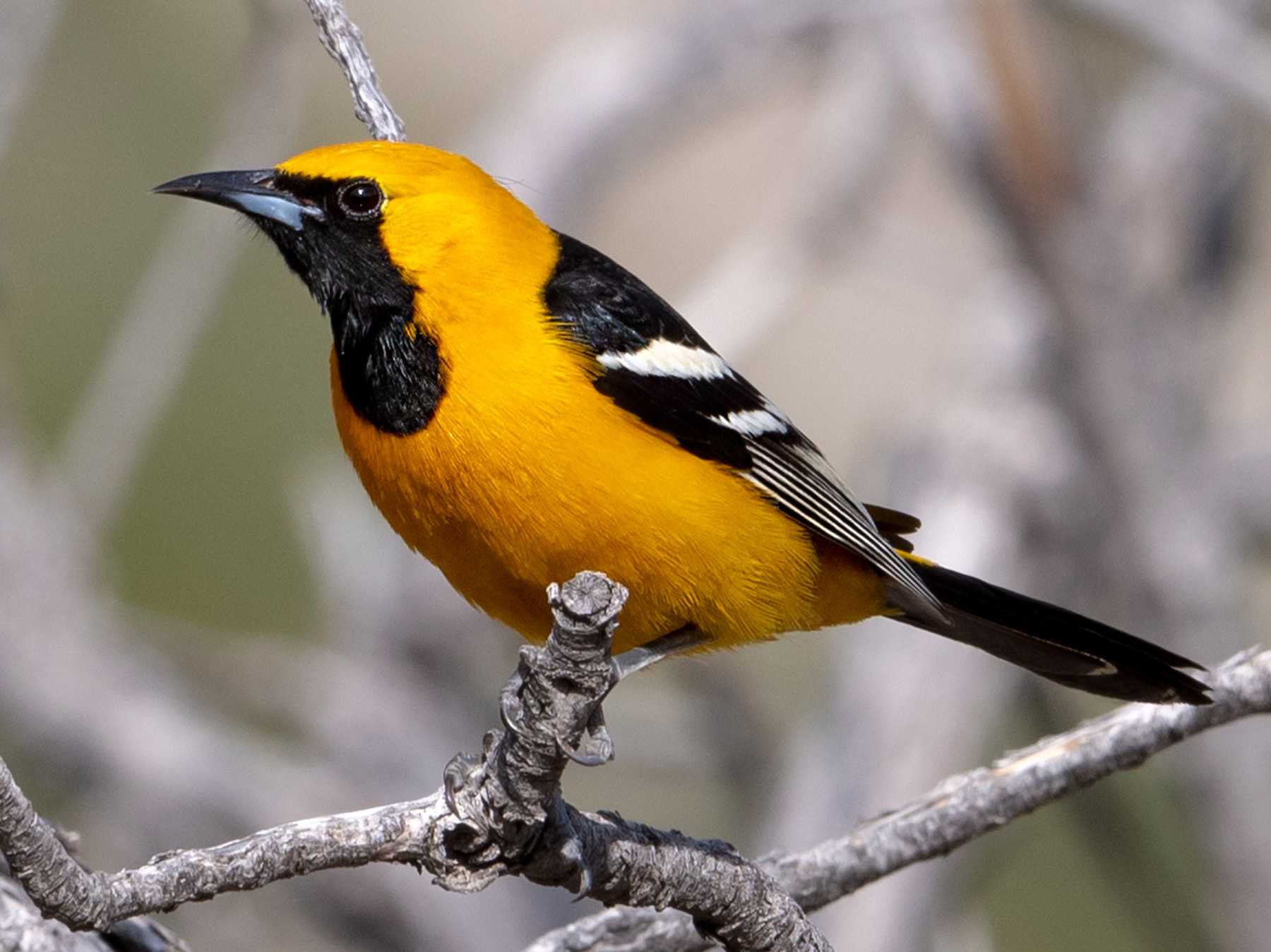 Hooded Oriole - Fred Forssell