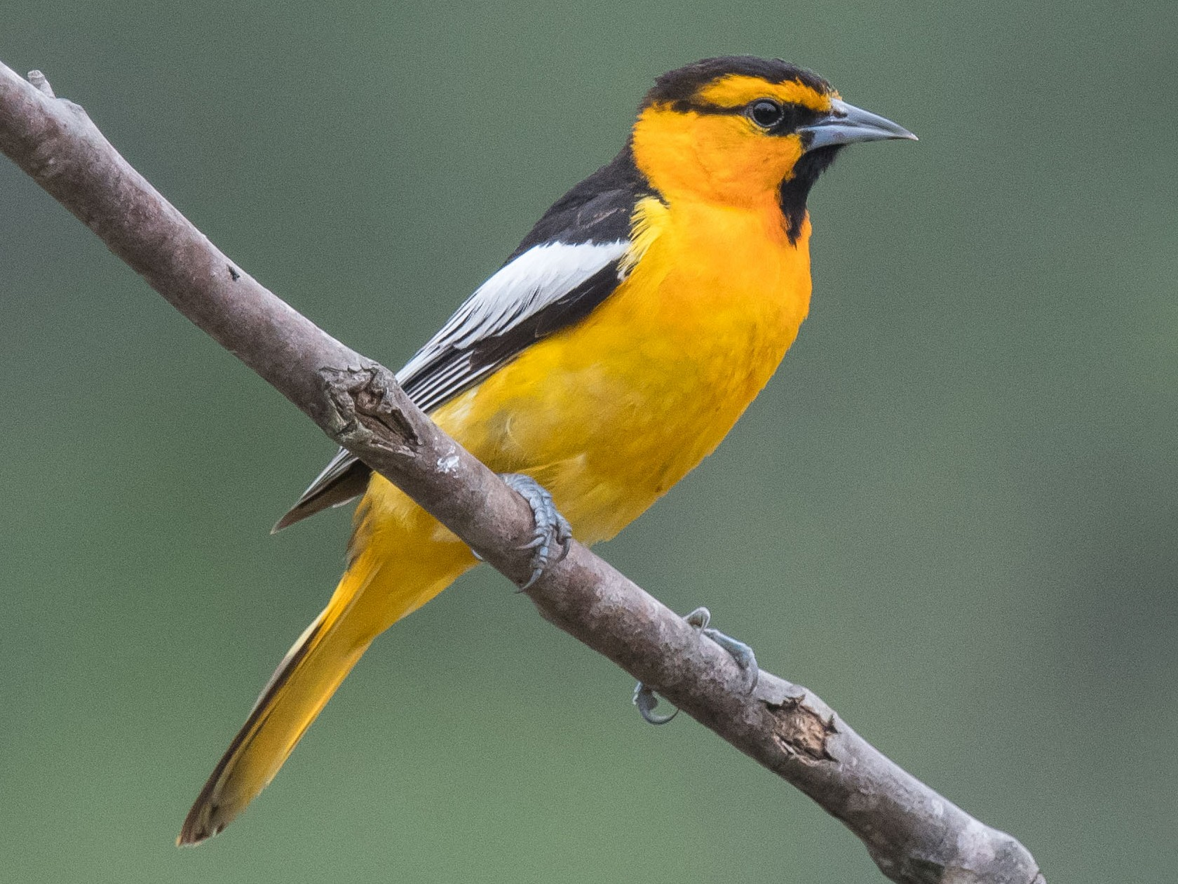 Bullock's Oriole - Nancy Christensen