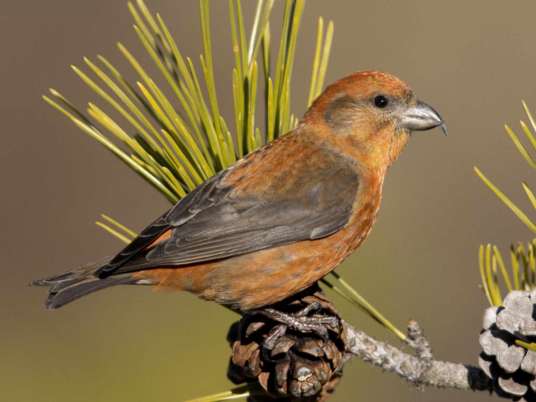 Red Crossbill - Michael Stubblefield