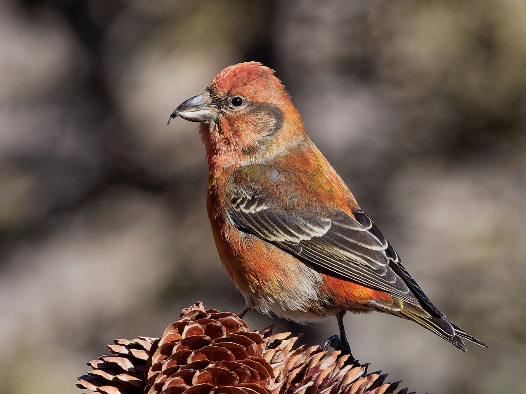 Red Crossbill - Vincent Wang