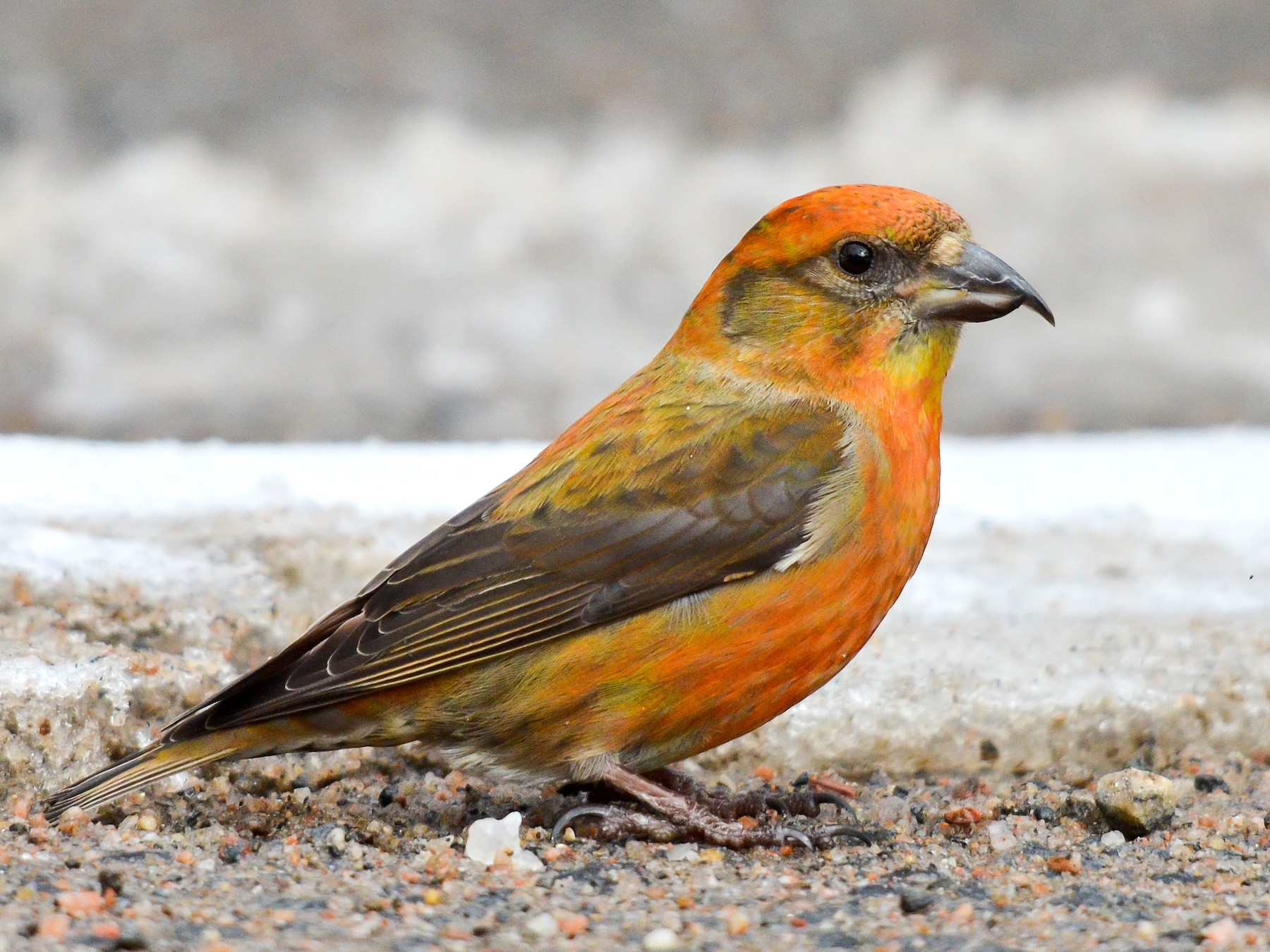 Red Crossbill - Nancy Barrett