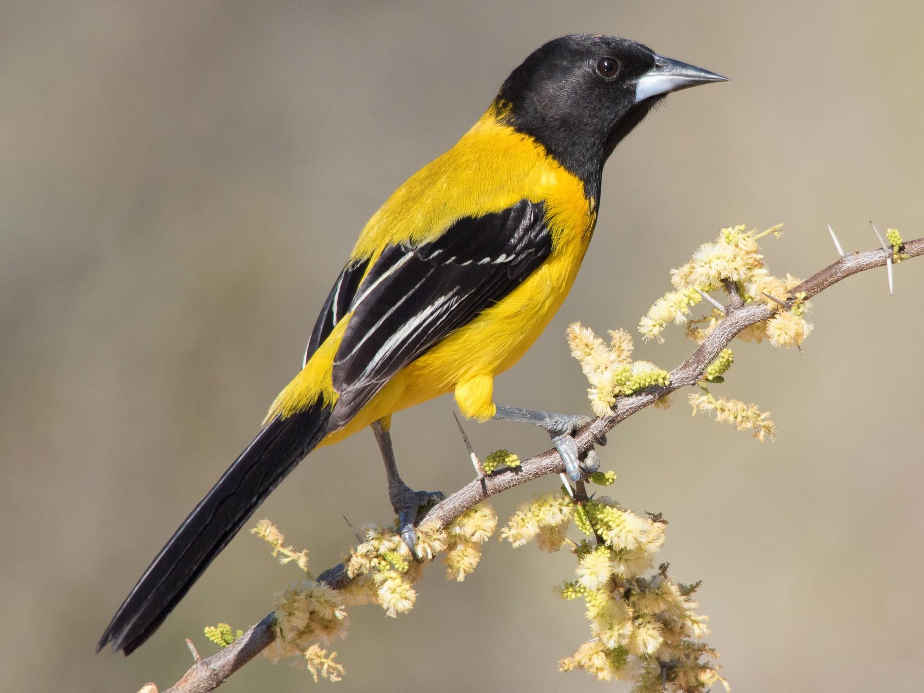 Audubon's Oriole - Carol Henrichs