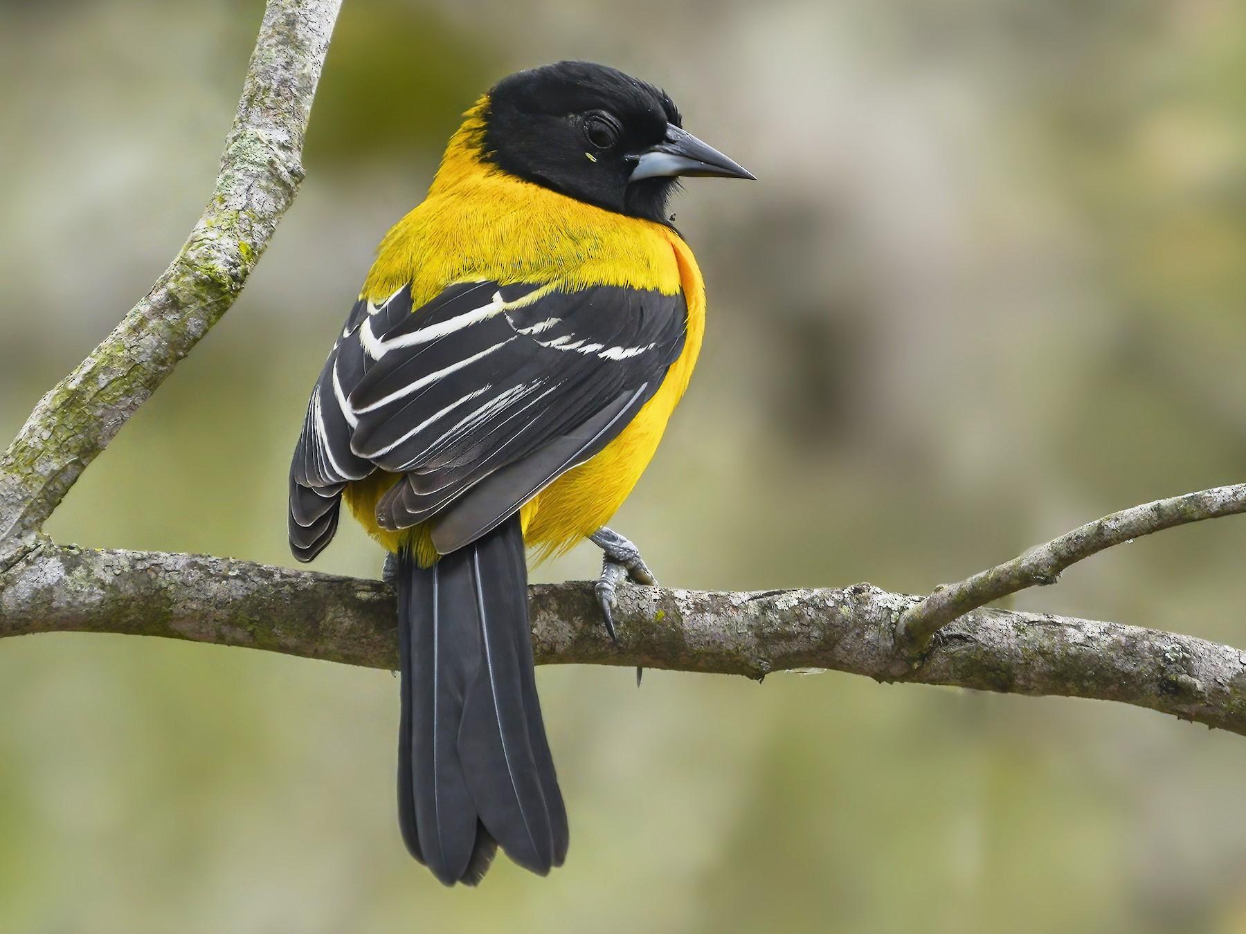 Audubon's Oriole - Derek Hameister