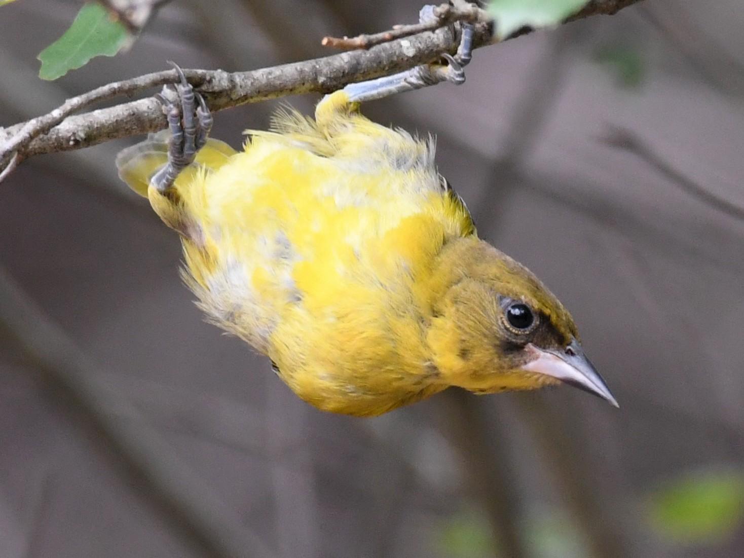 Audubon's Oriole - Simon Kiacz