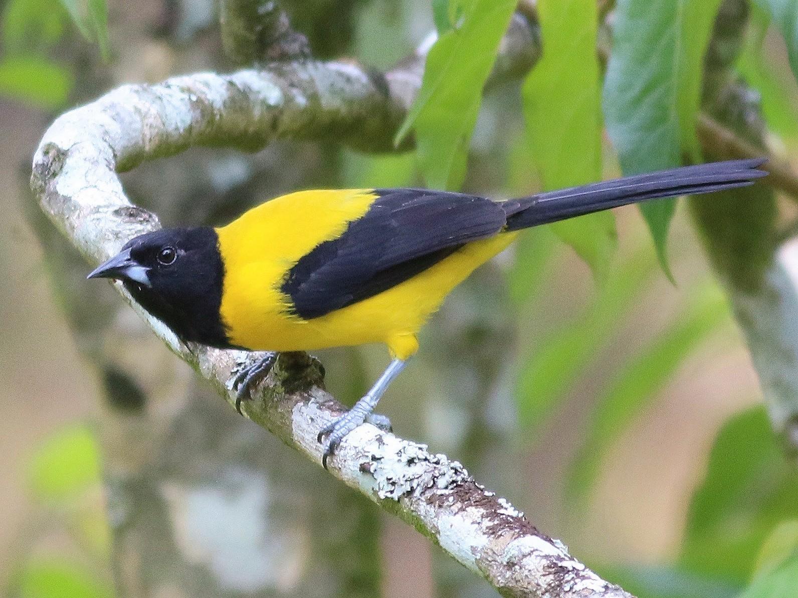 Audubon's Oriole - Eric Antonio Martinez