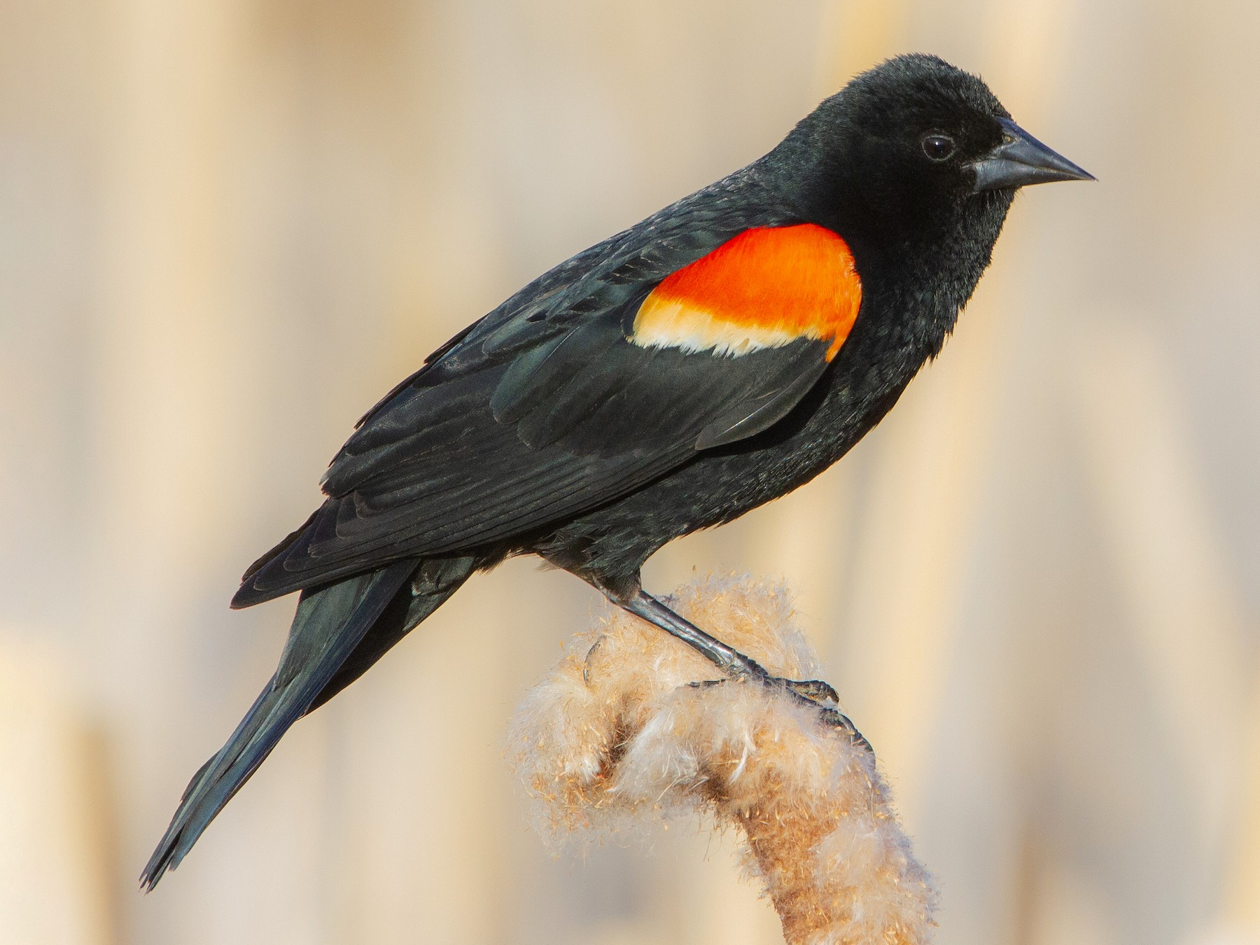 Red-winged Blackbird - Connor Charchuk