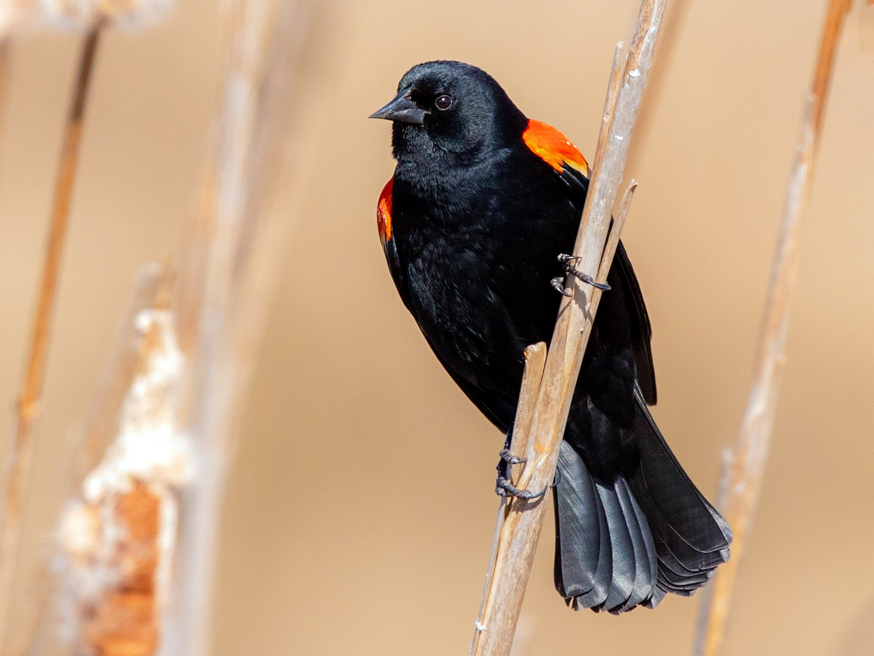 Red-winged Blackbird - Brad Imhoff