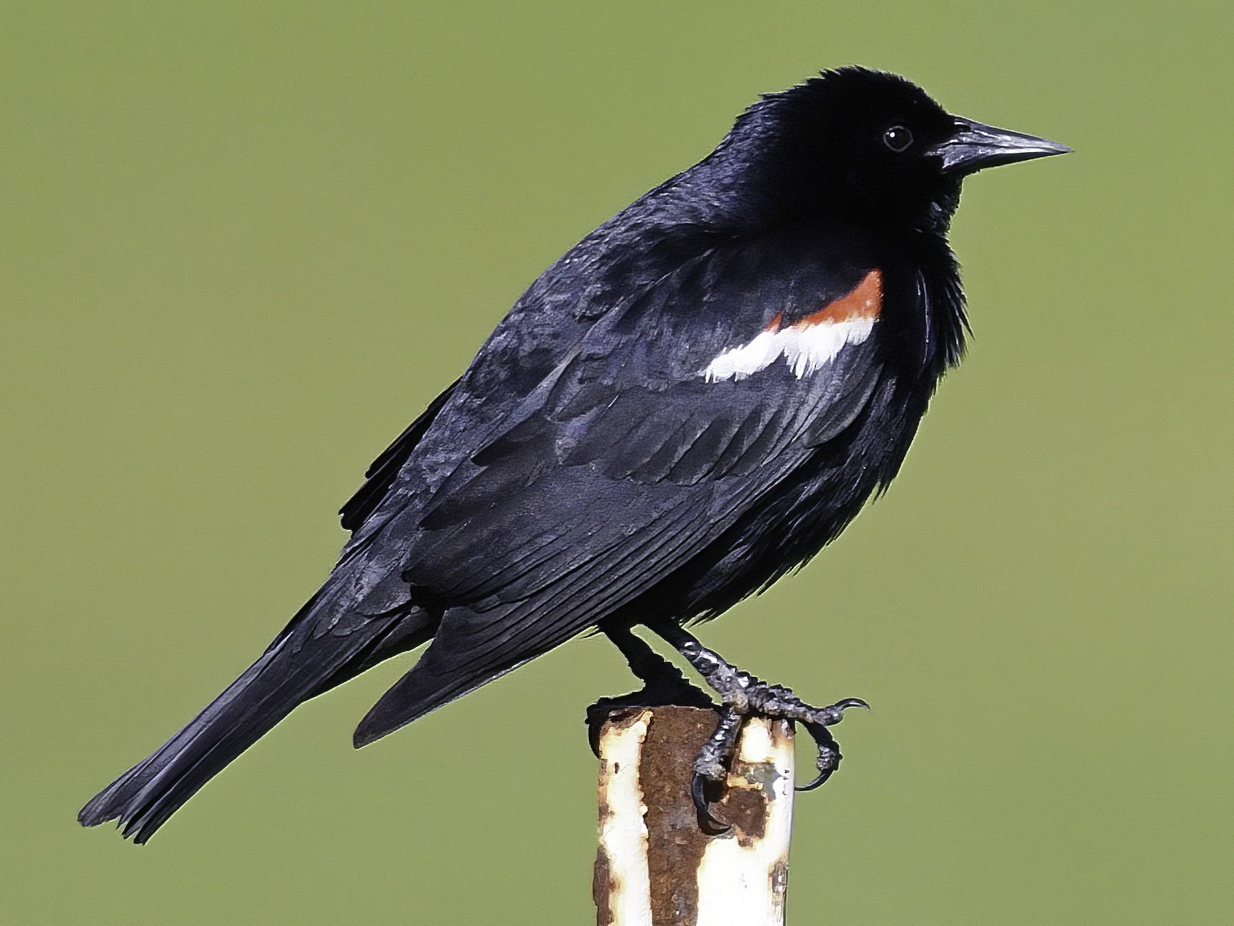 Tricolored Blackbird - Dan Murphy