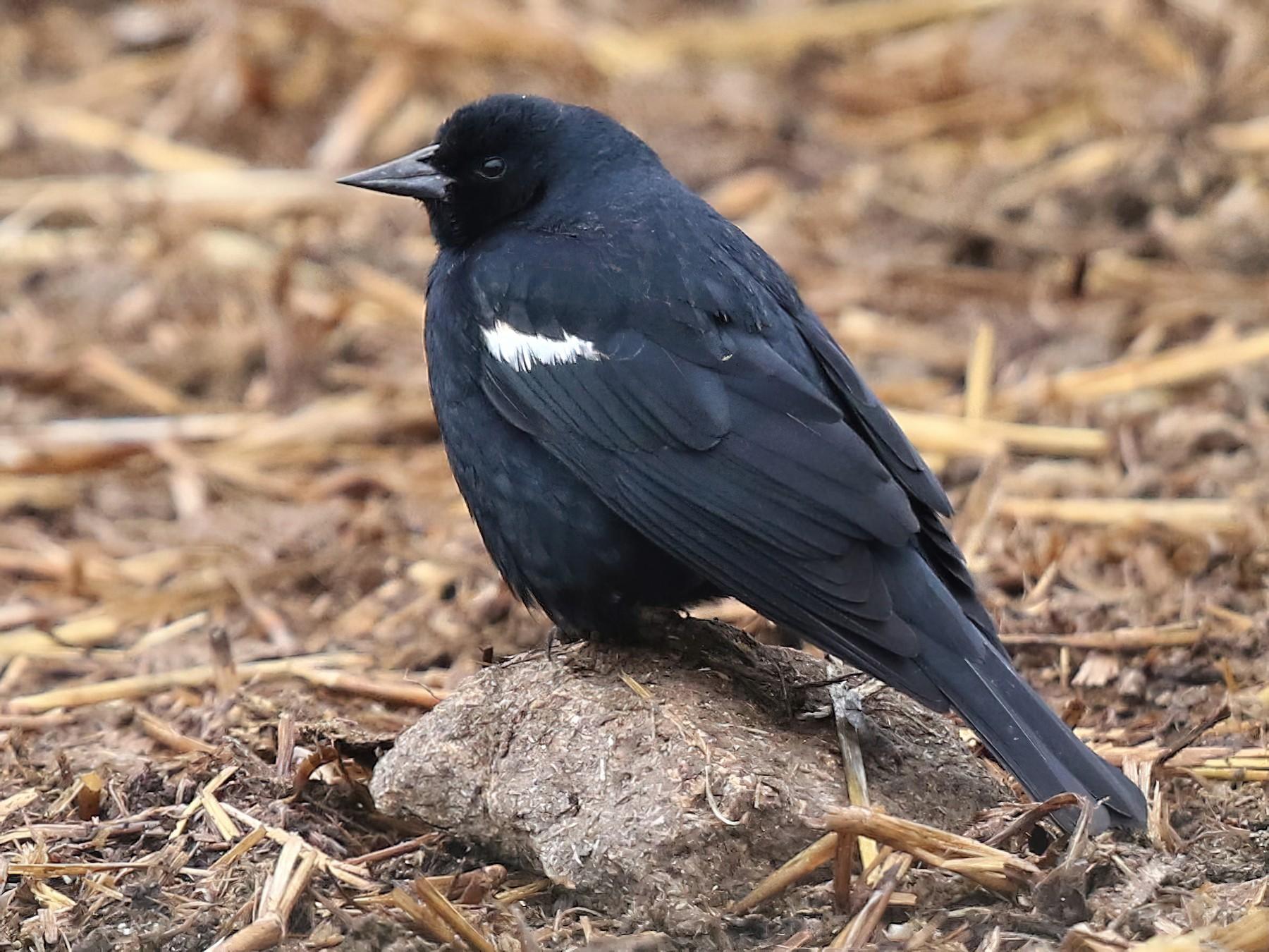 Tricolored Blackbird - Bob Friedrichs