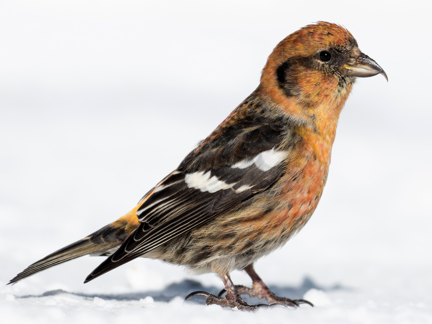 White-winged Crossbill - David Turgeon