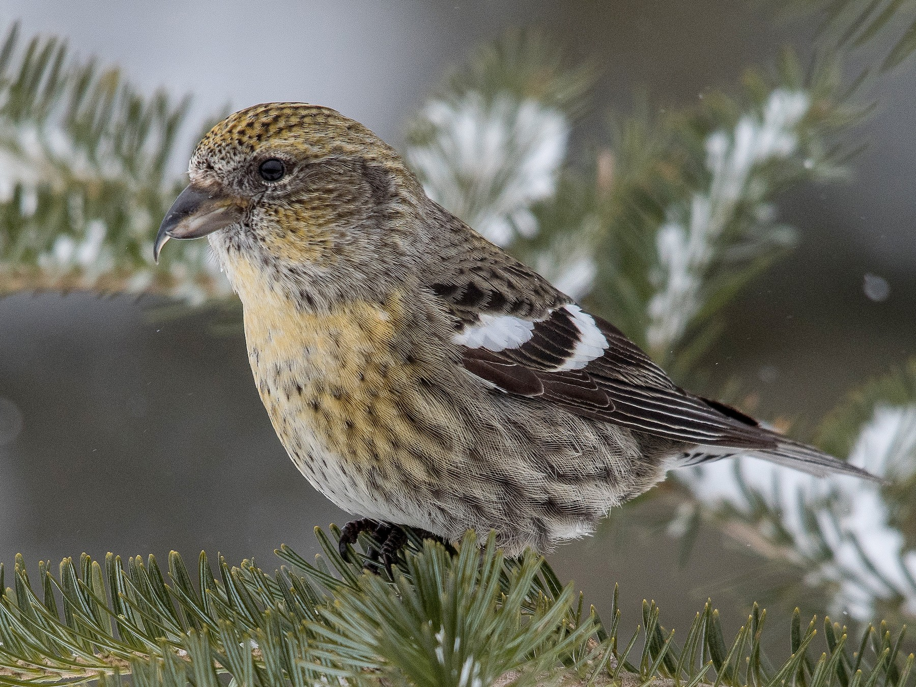 White-winged Crossbill - Simon Boivin