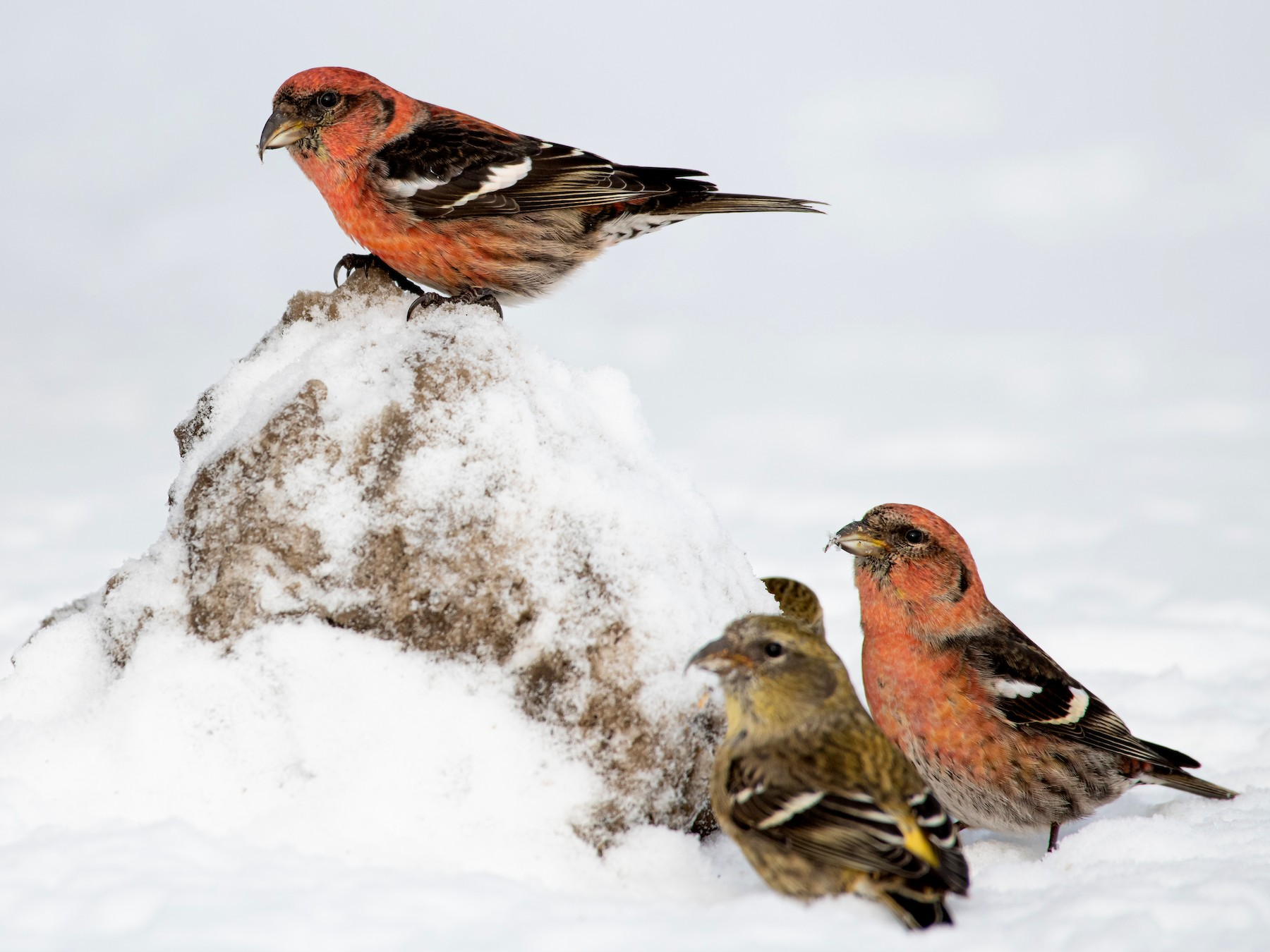 White-winged Crossbill - Matthew Bell