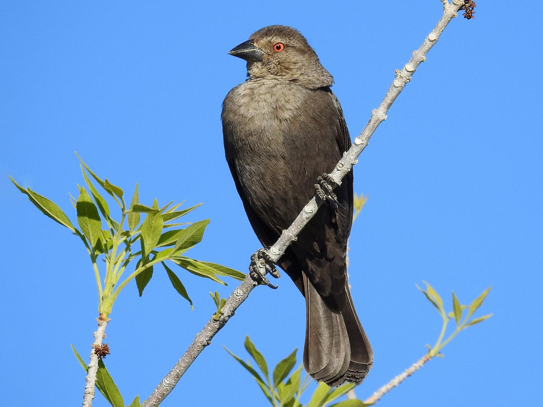 Bronzed Cowbird - Tonya Holland