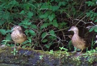 Wood Duck, ML30642721