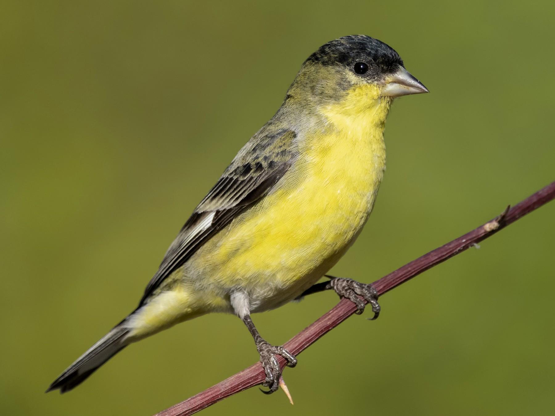Lesser Goldfinch - Sharif Uddin