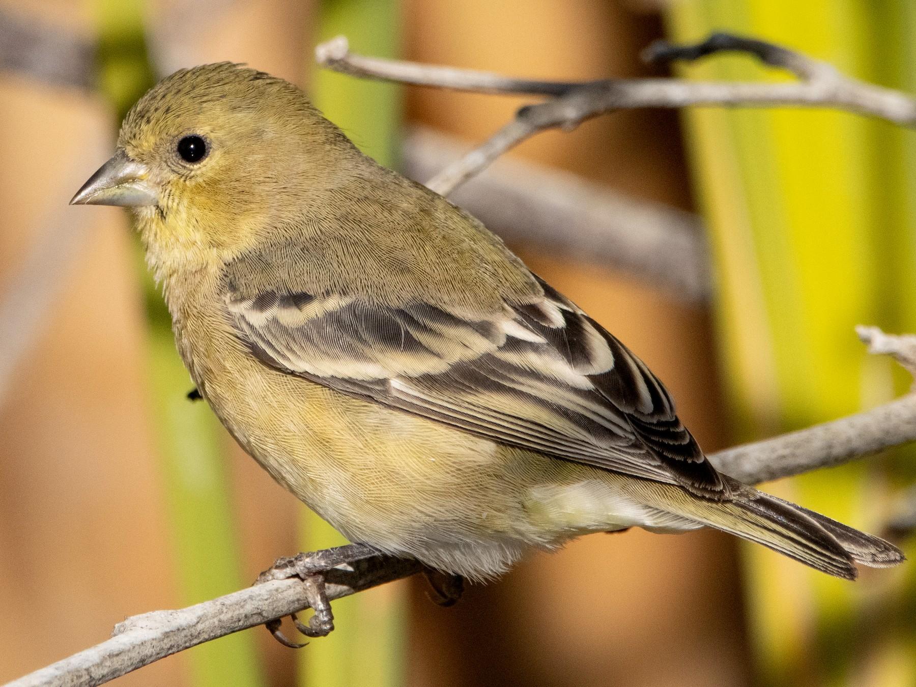 Lesser Goldfinch - Liam Huber