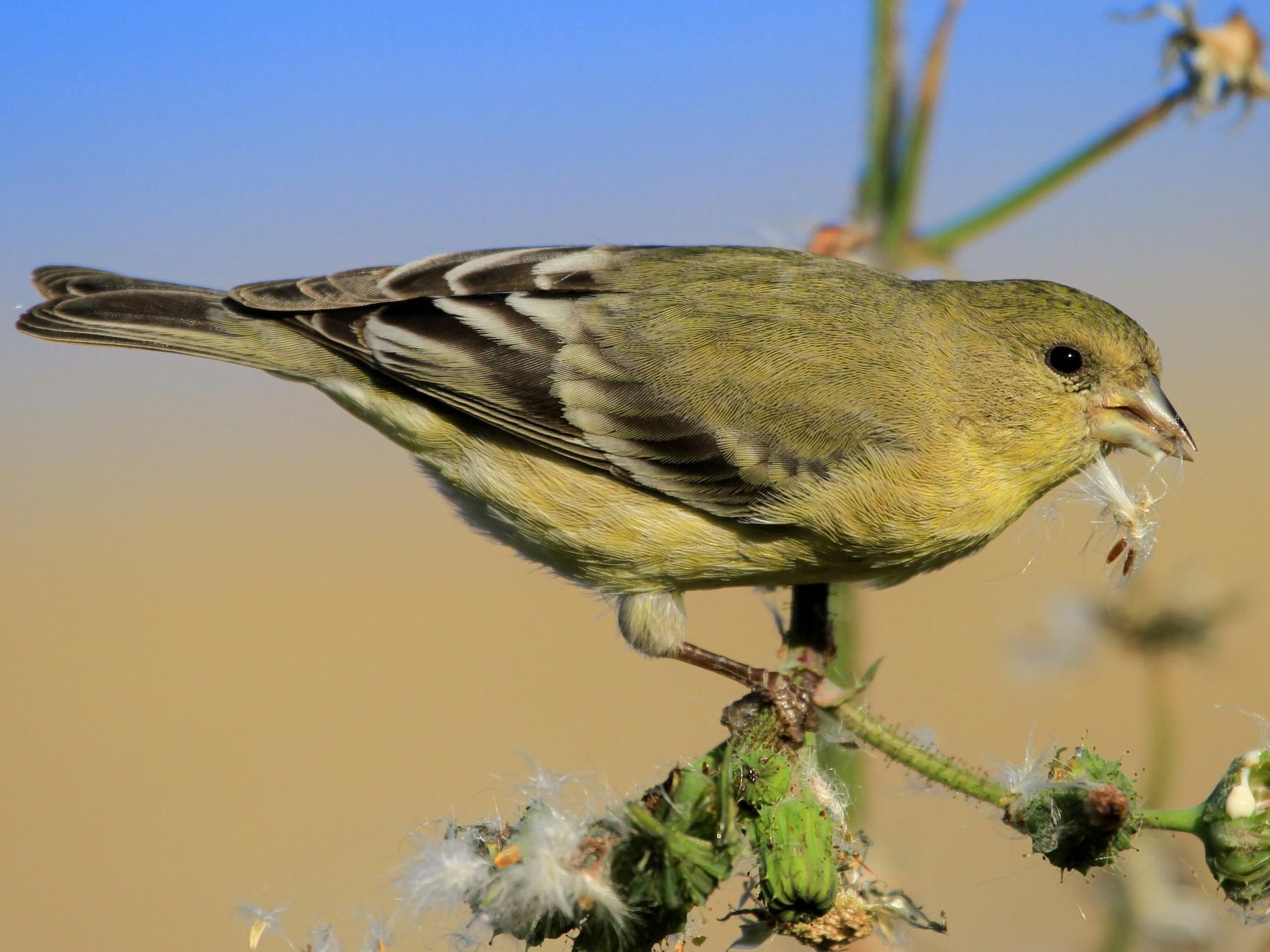 Lesser Goldfinch - Sasha Cahill
