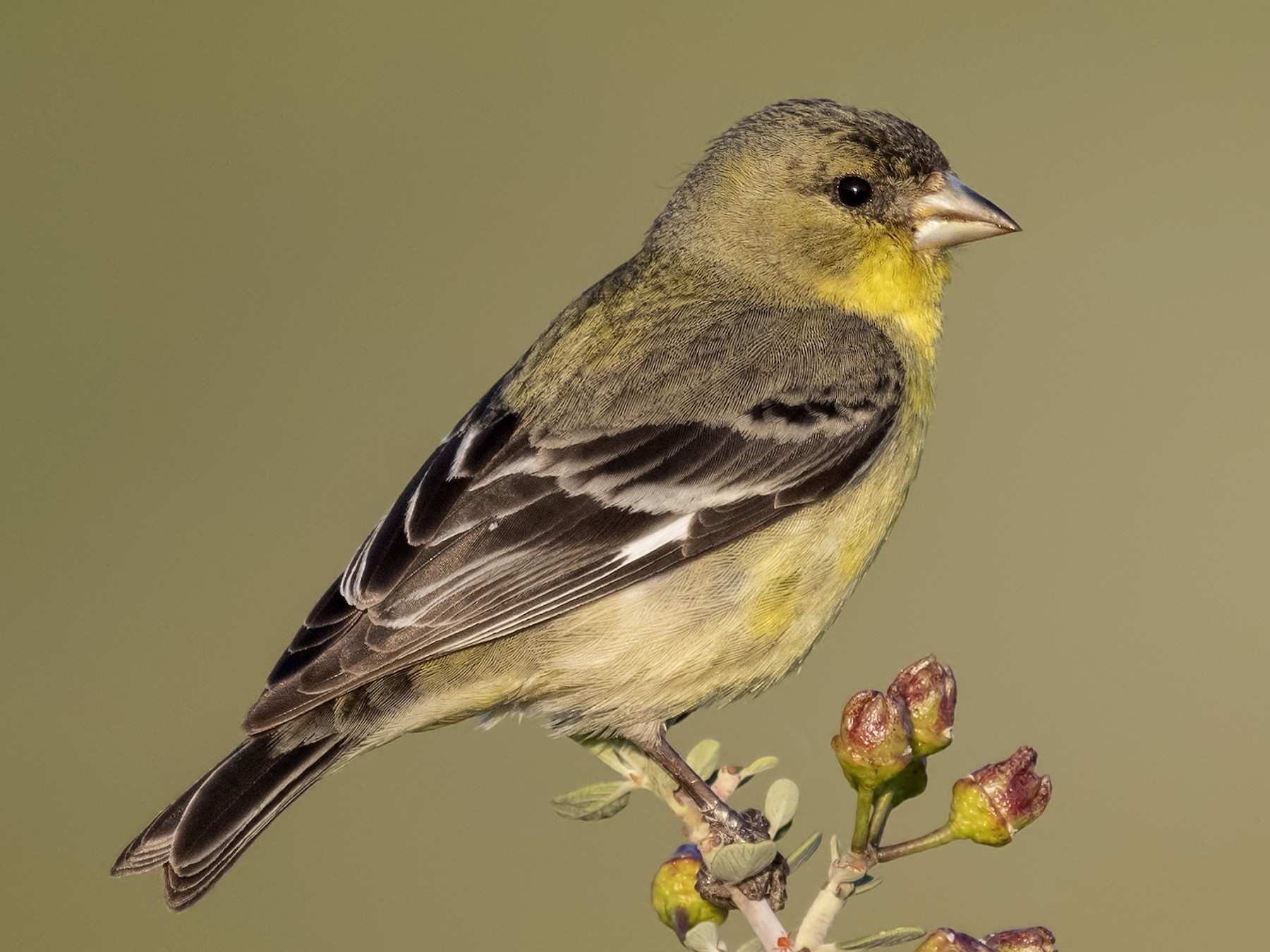 Lesser Goldfinch - Sharif Uddin