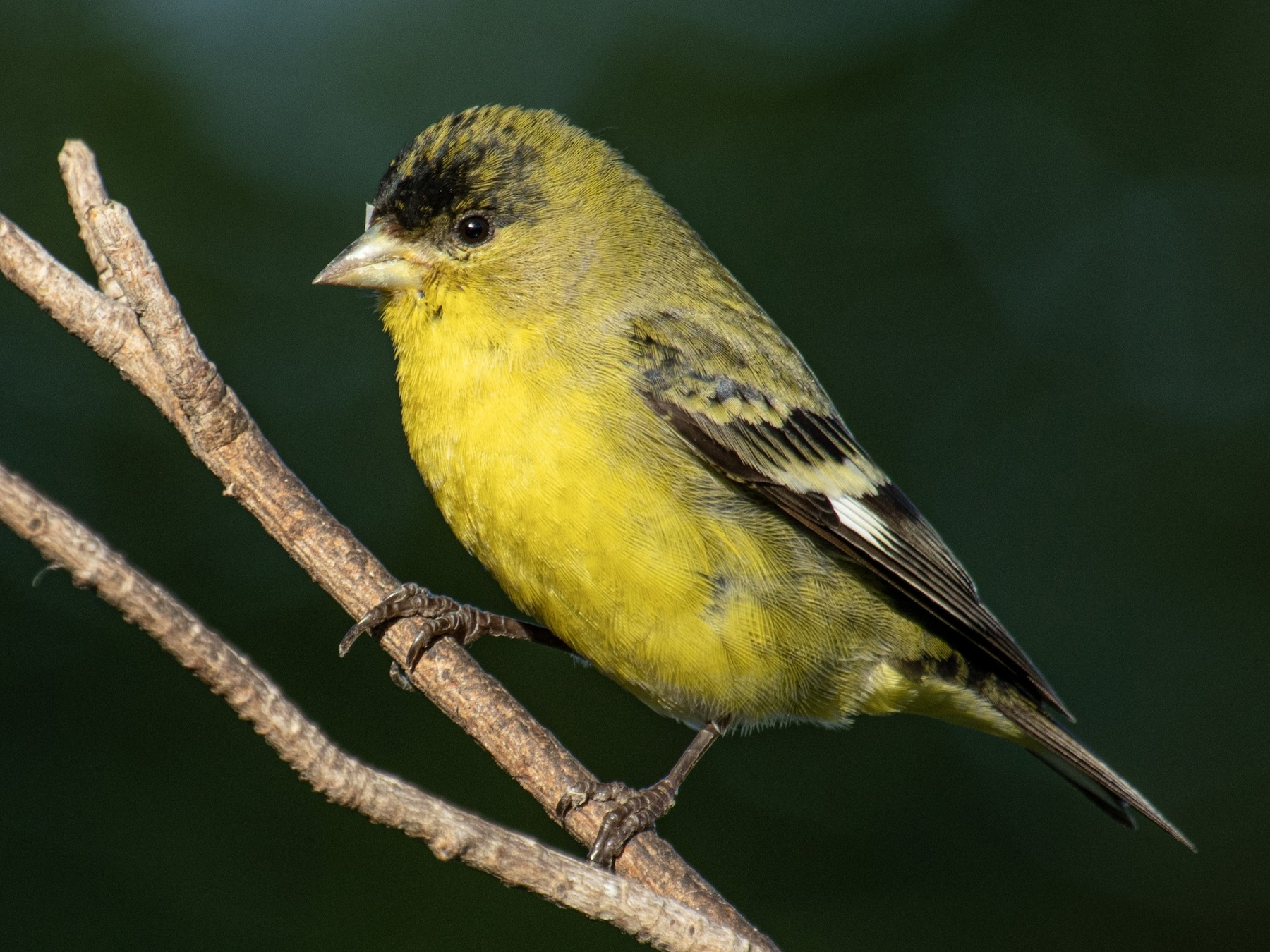 Lesser Goldfinch - Neil Rucker