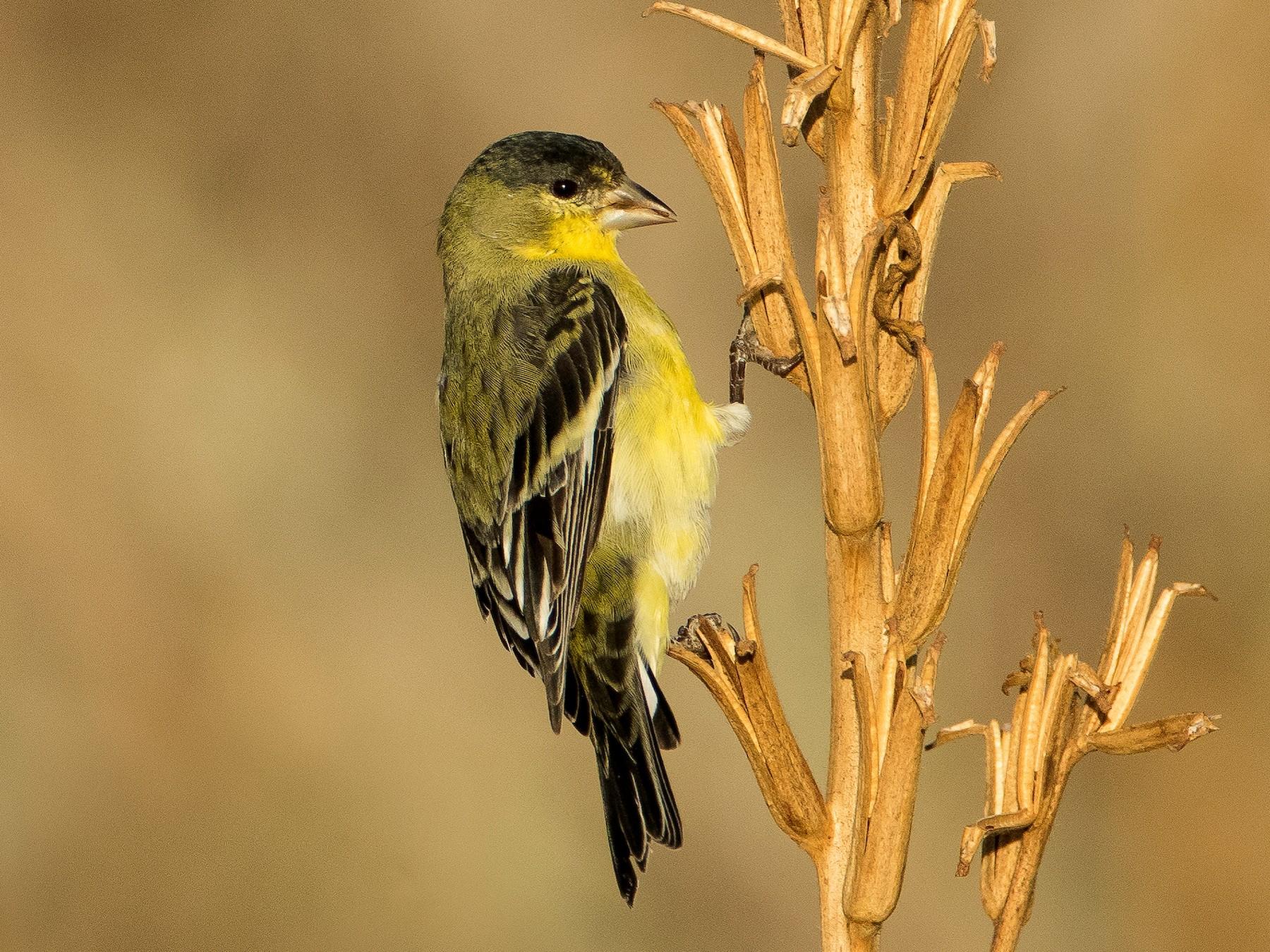 Lesser Goldfinch - Dorian Anderson