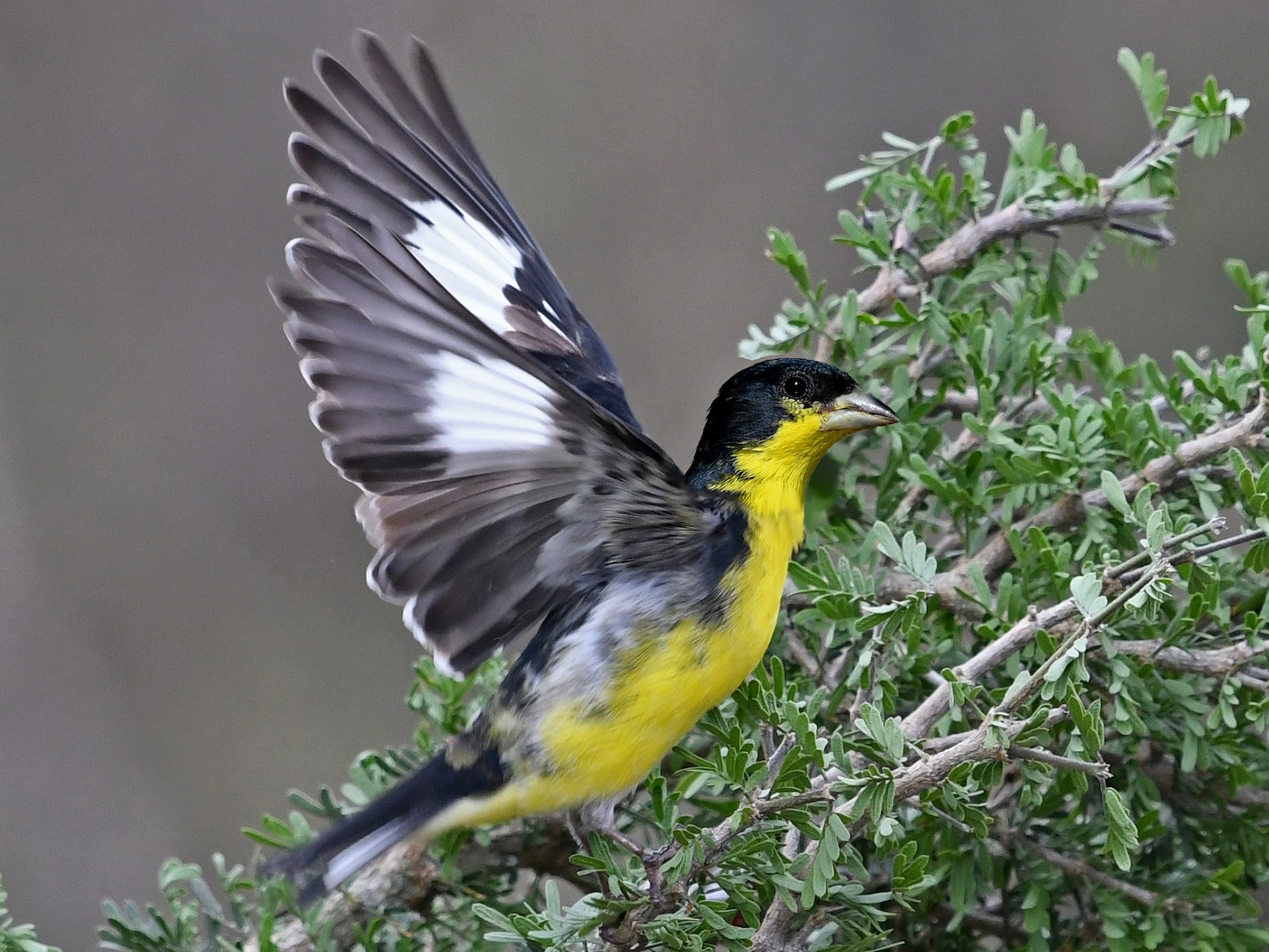 Lesser Goldfinch - Lila Theis