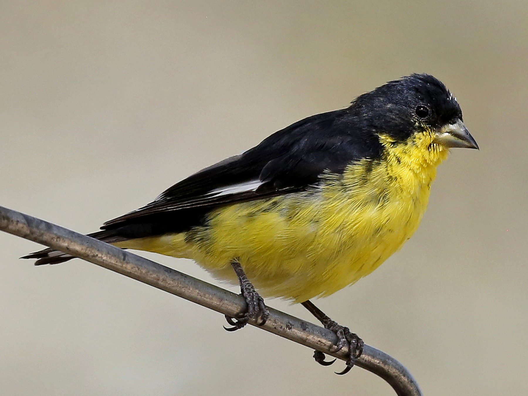 Lesser Goldfinch - Laura Keene
