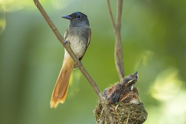 Blyth's Paradise-Flycatcher
