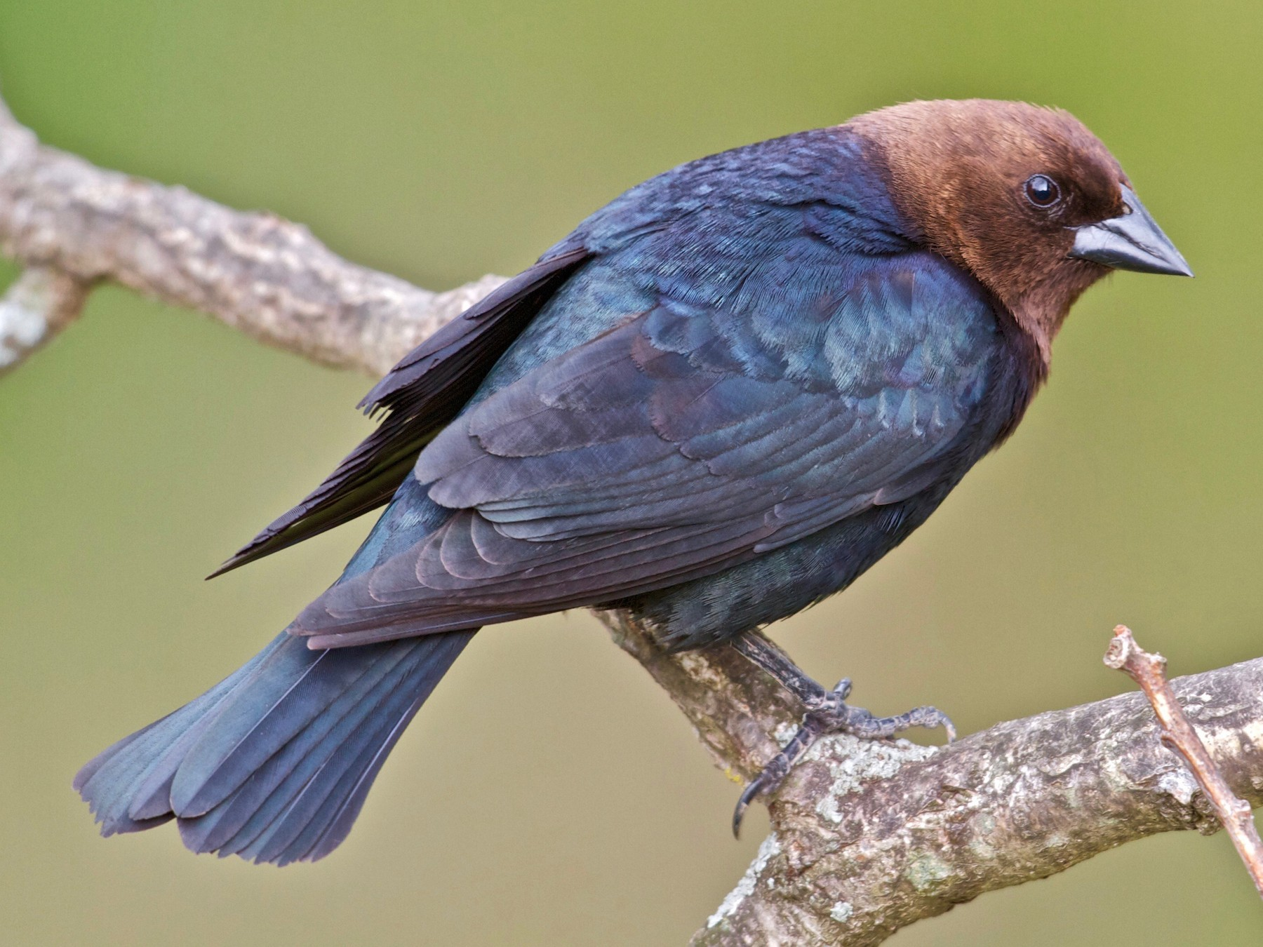 Brown-headed Cowbird - Jack & Holly Bartholmai