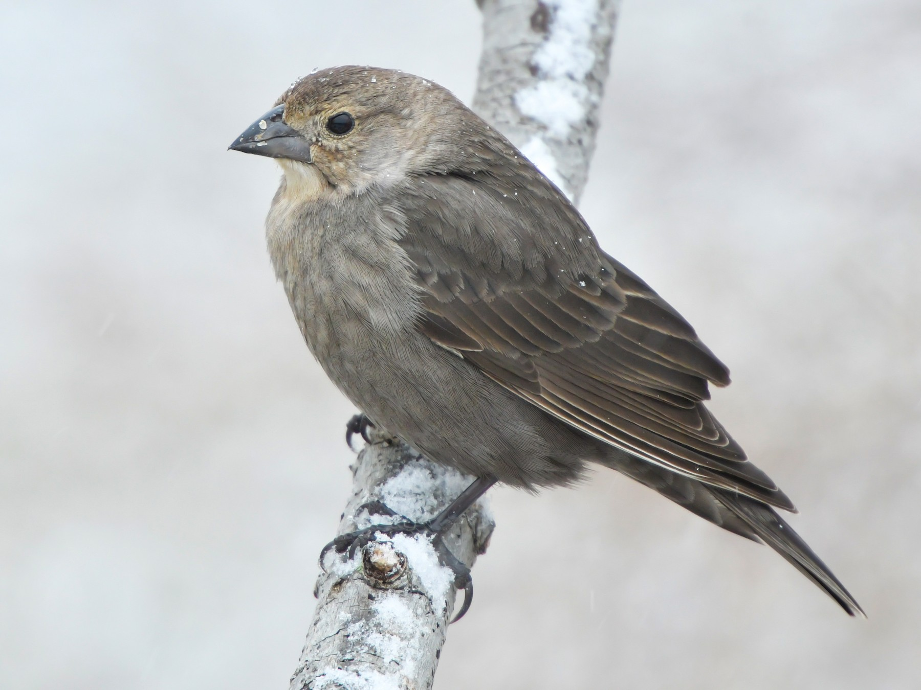 Brown-headed Cowbird - Jonathan Irons