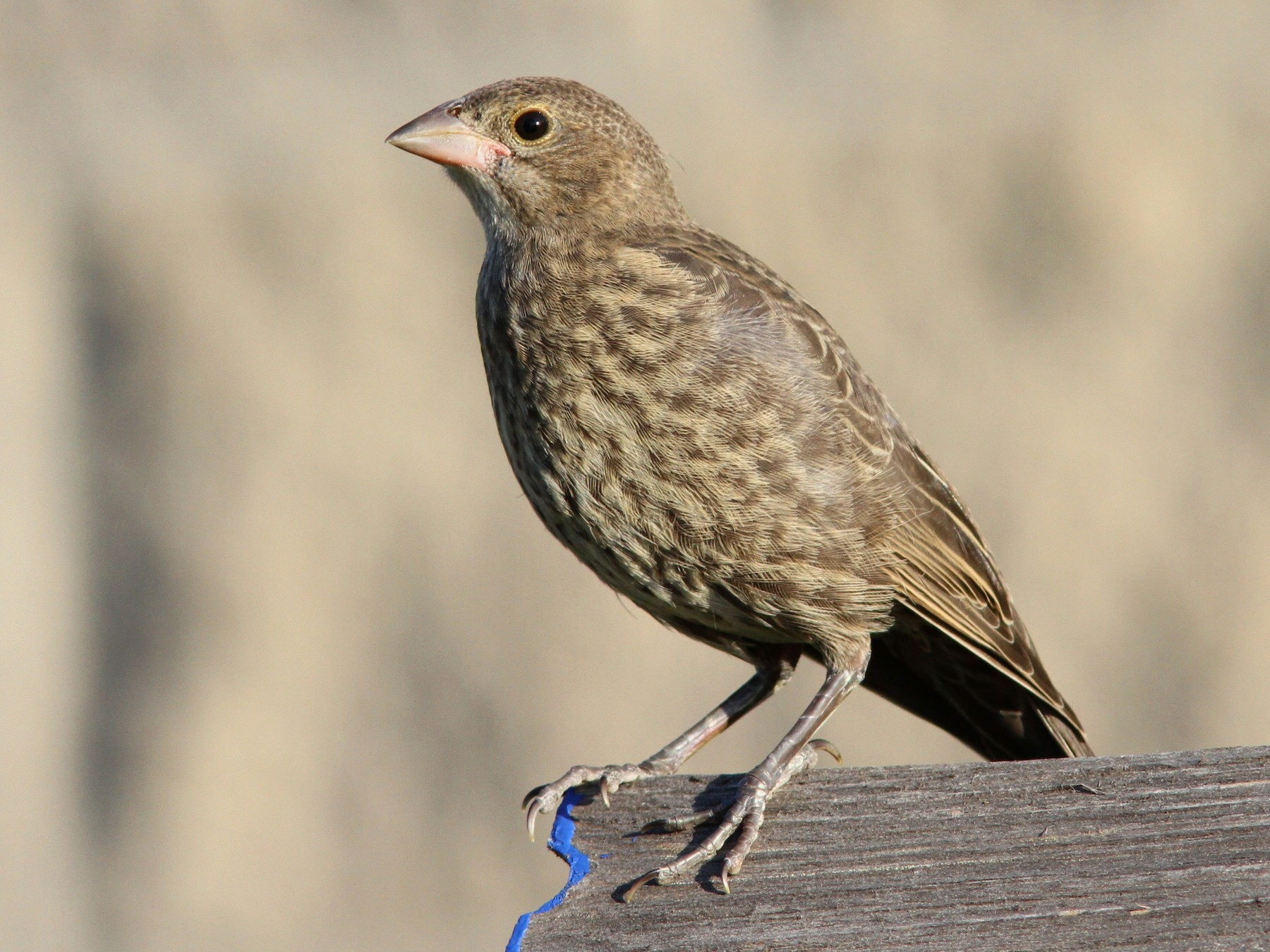 Brown-headed Cowbird - Sean Fitzgerald
