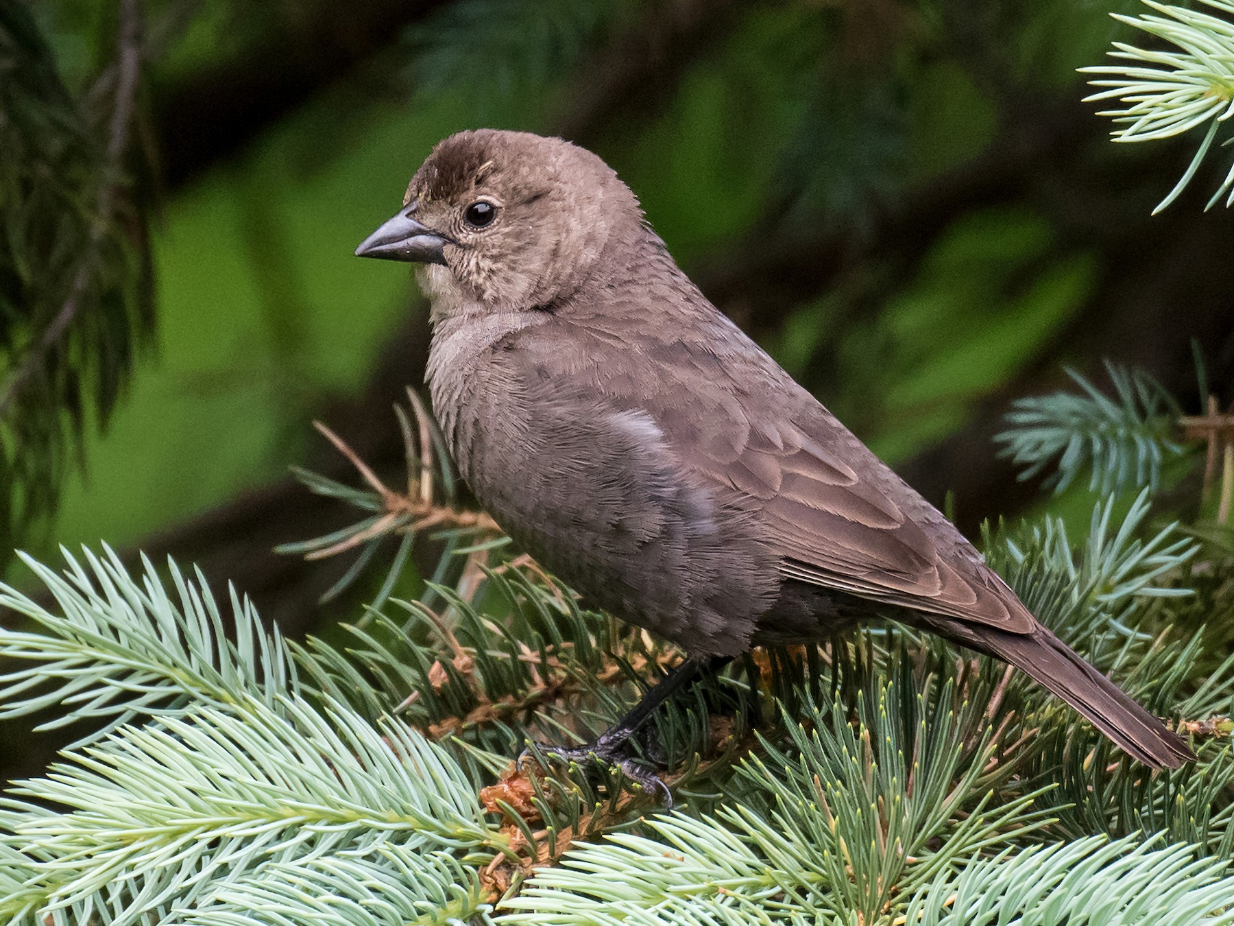 Brown-headed Cowbird - Emily Turteltaub Nelson