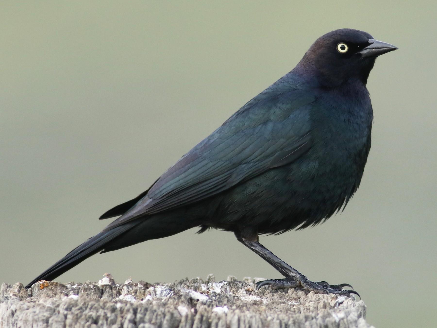 Brewer's Blackbird - Jonathan Eckerson