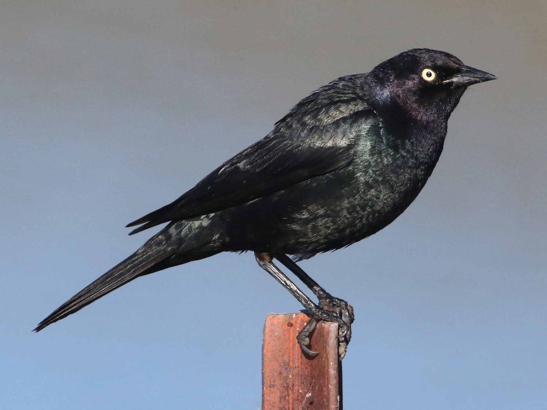 Brewer's Blackbird - Joshua  Glant