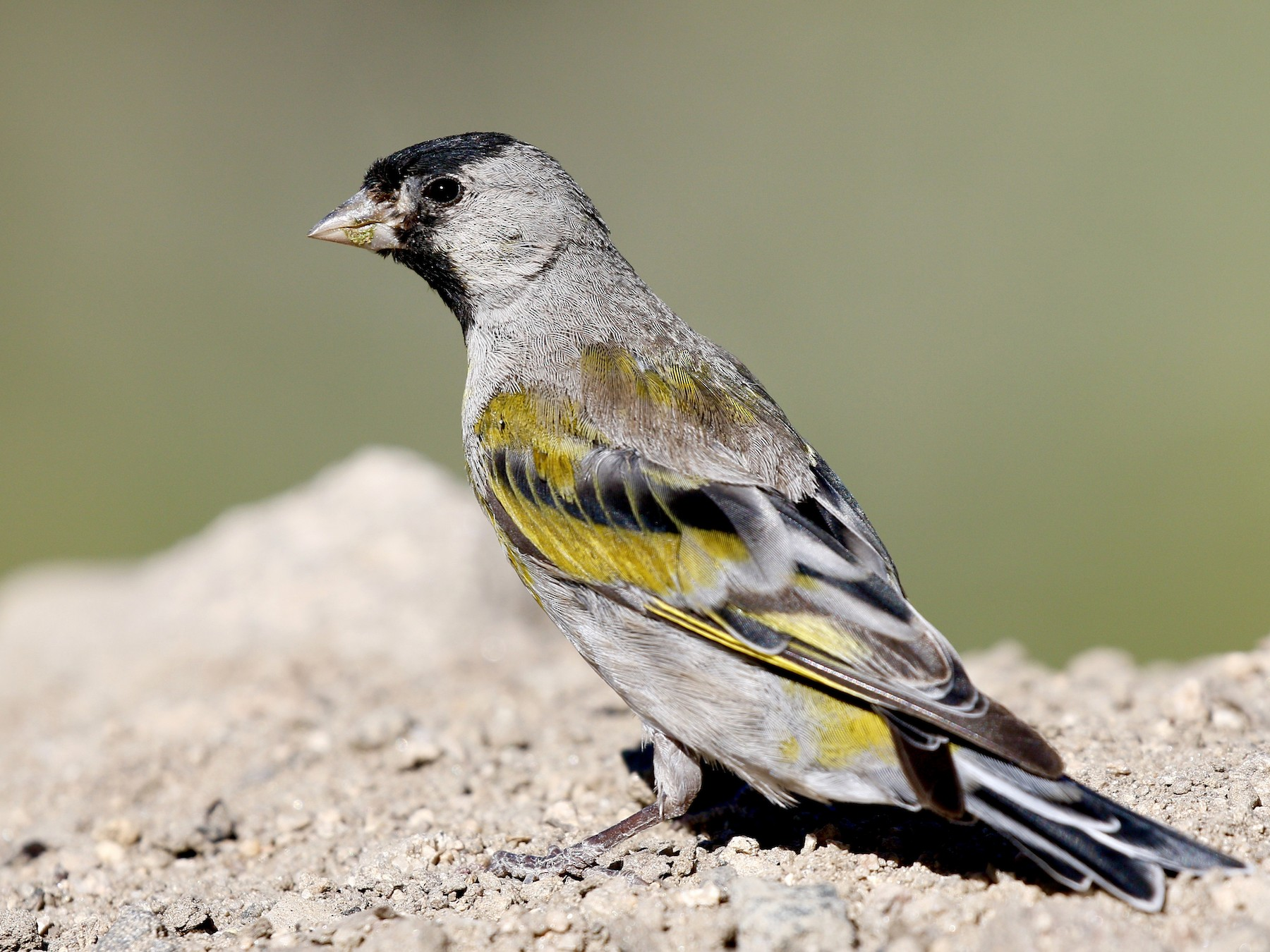 Lawrence's Goldfinch - Aaron Boone