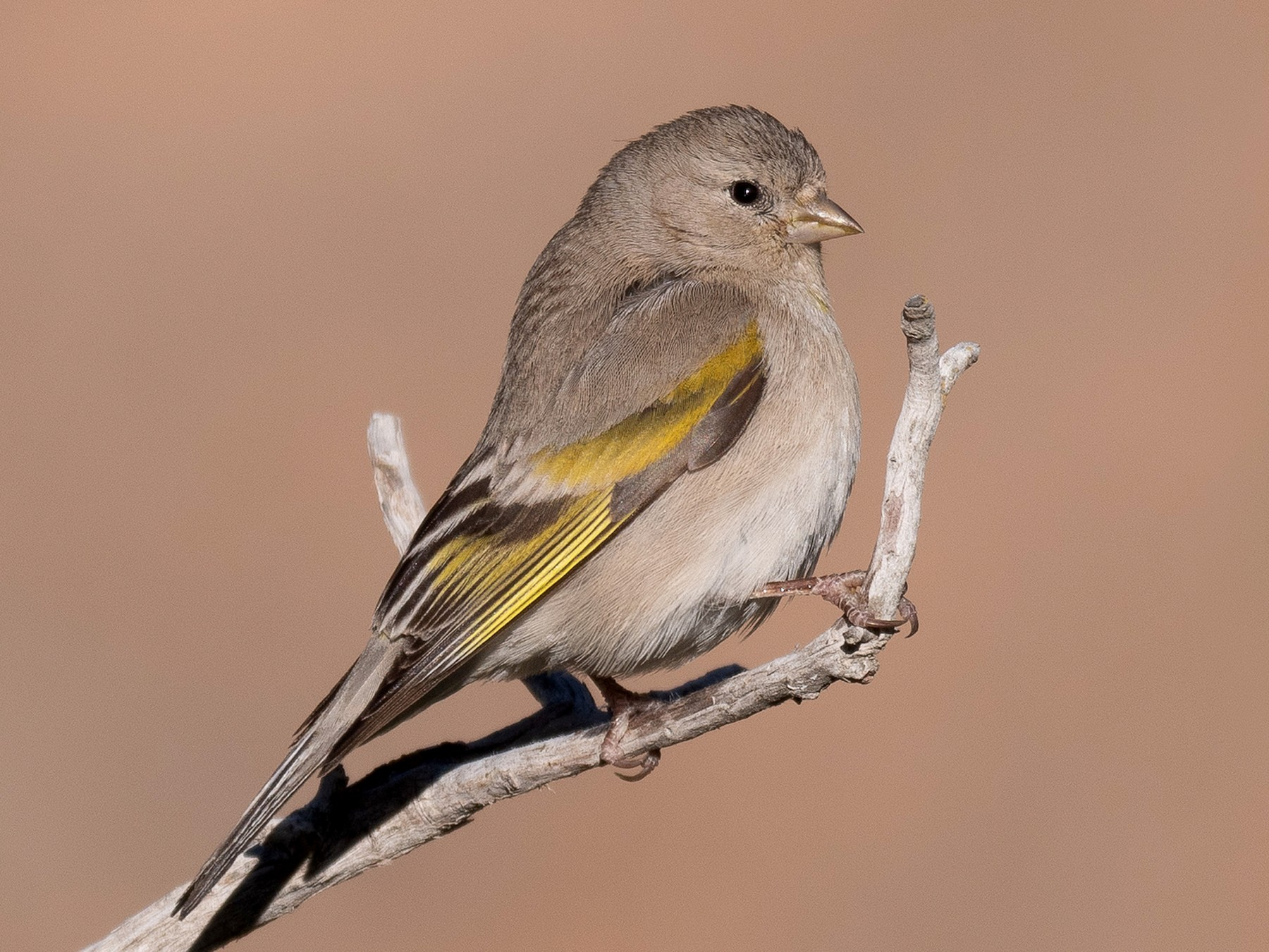 Lawrence's Goldfinch - Will Knowlton