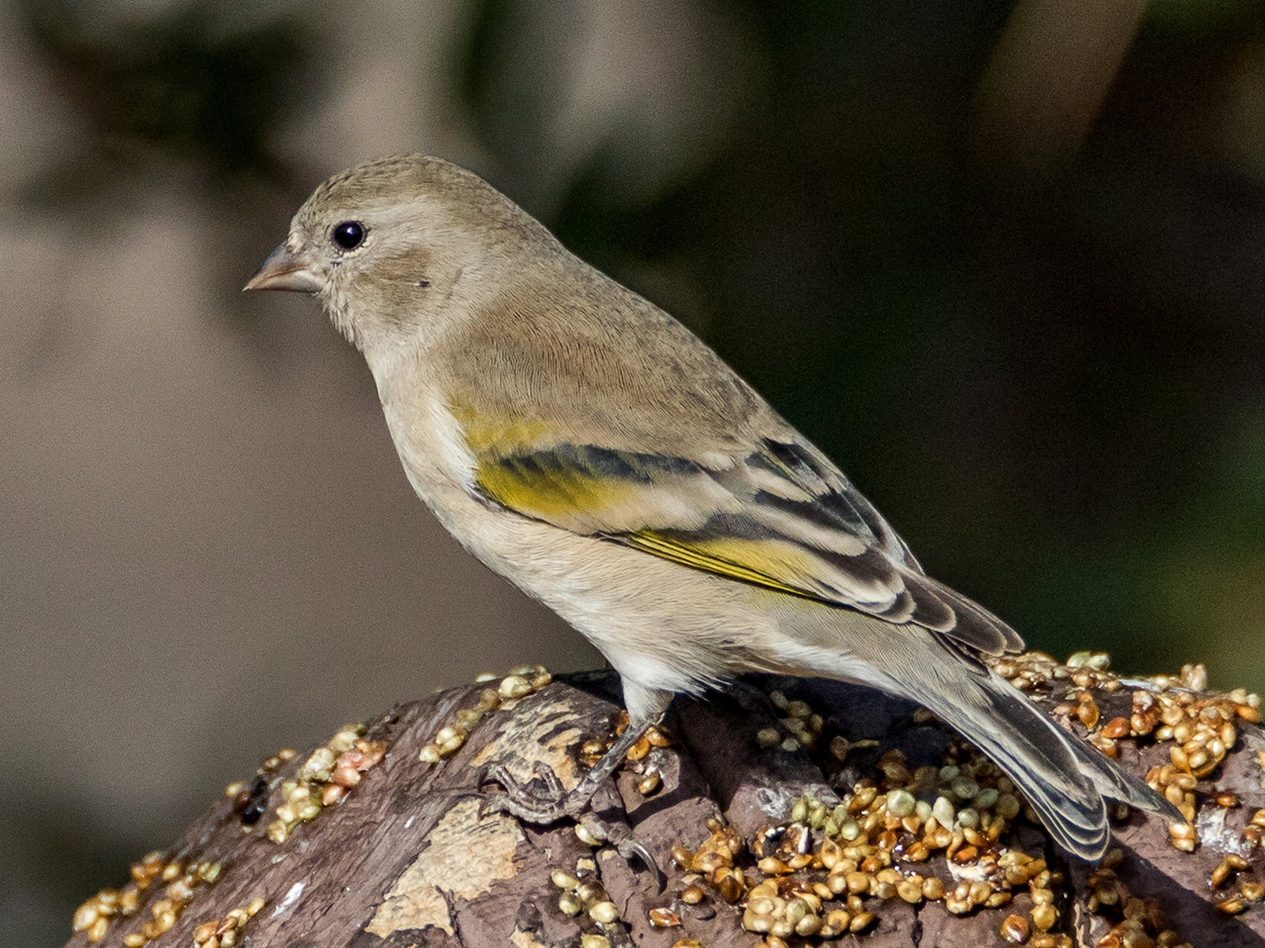 Lawrence's Goldfinch - Chezy Yusuf
