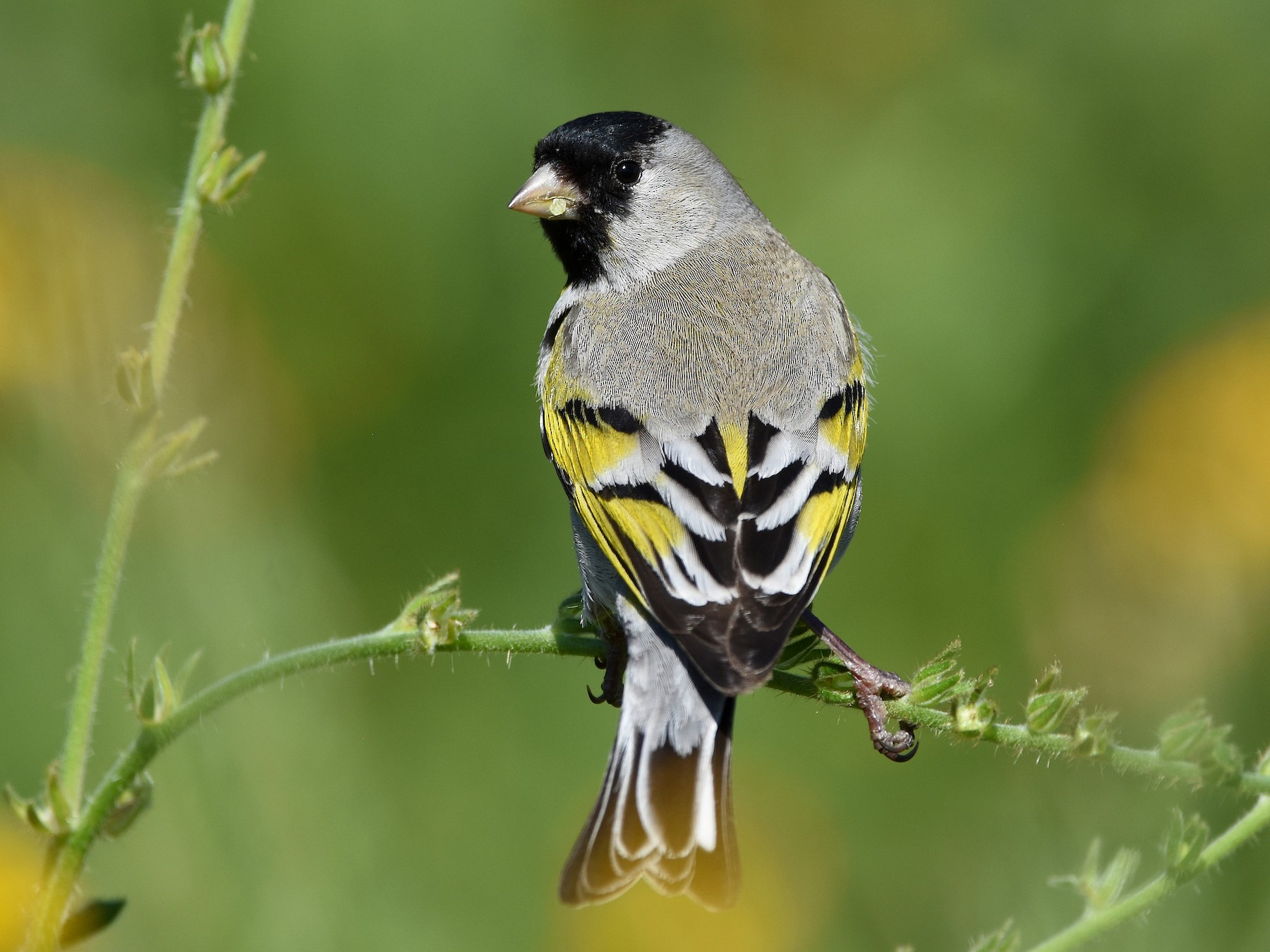 Lawrence's Goldfinch - Christopher Lindsey