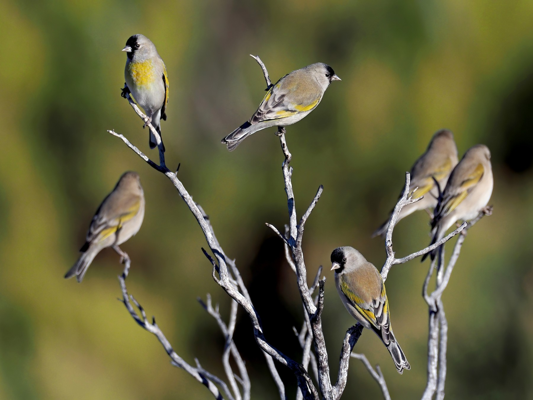 Lawrence's Goldfinch - Andrew Spencer