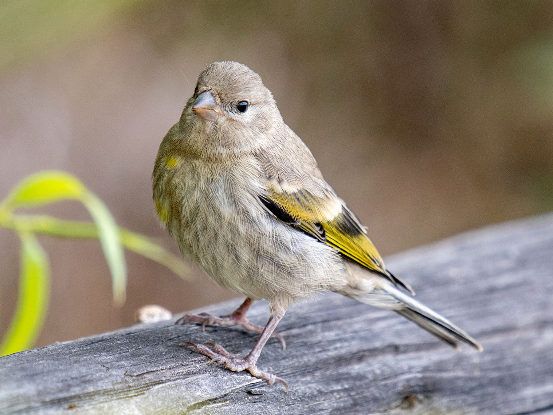 Lawrence's Goldfinch - Andrew Newmark