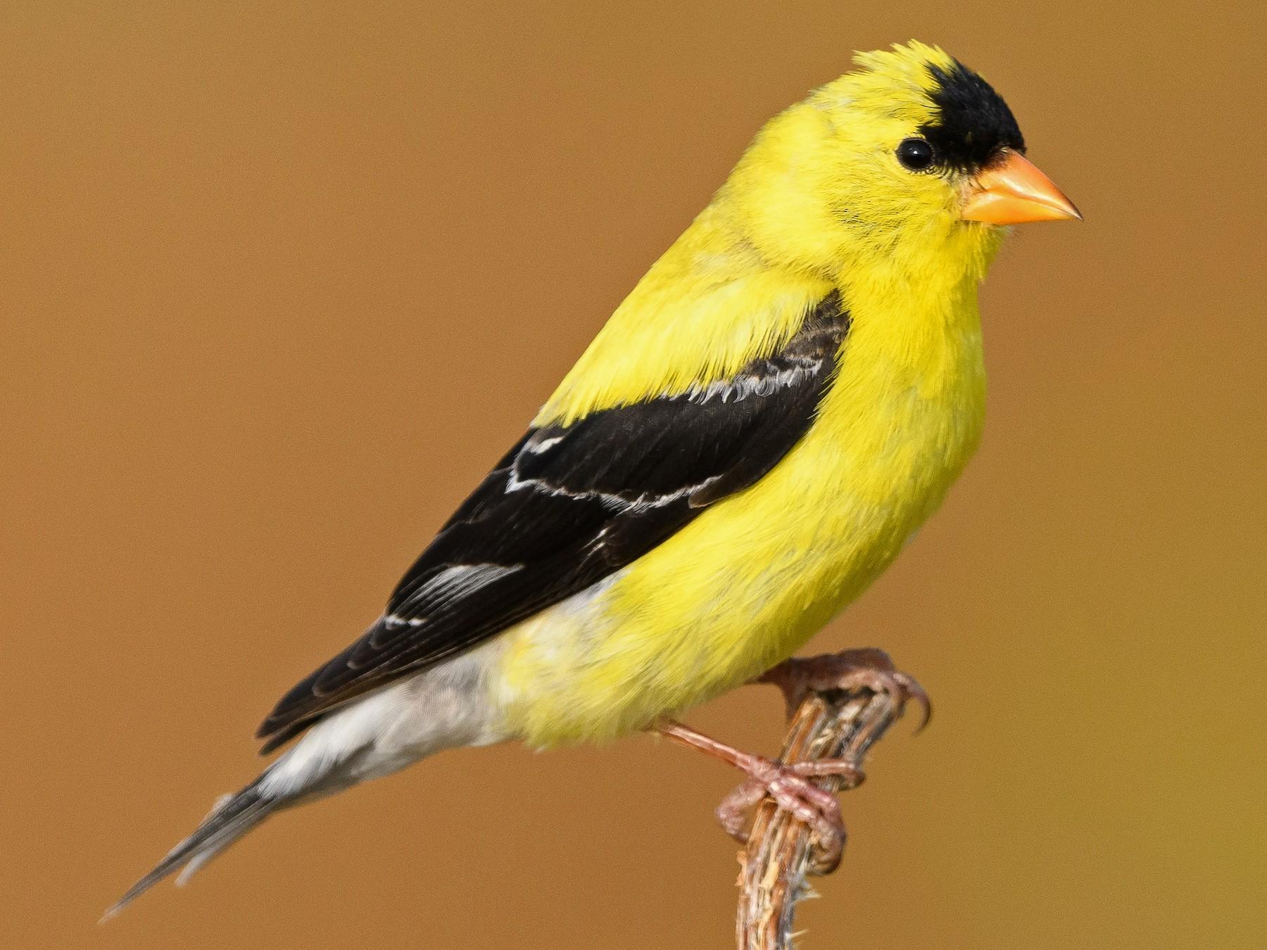 American Goldfinch - Darren Clark