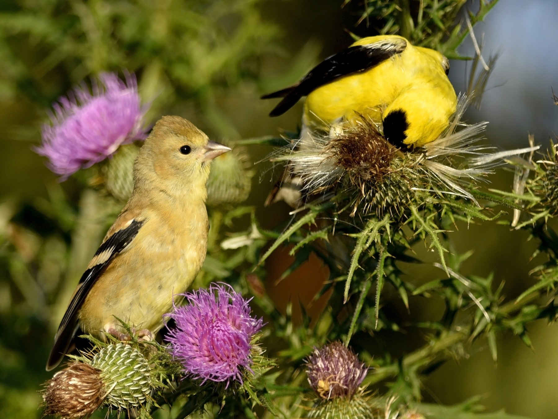 American Goldfinch - Daniel Irons